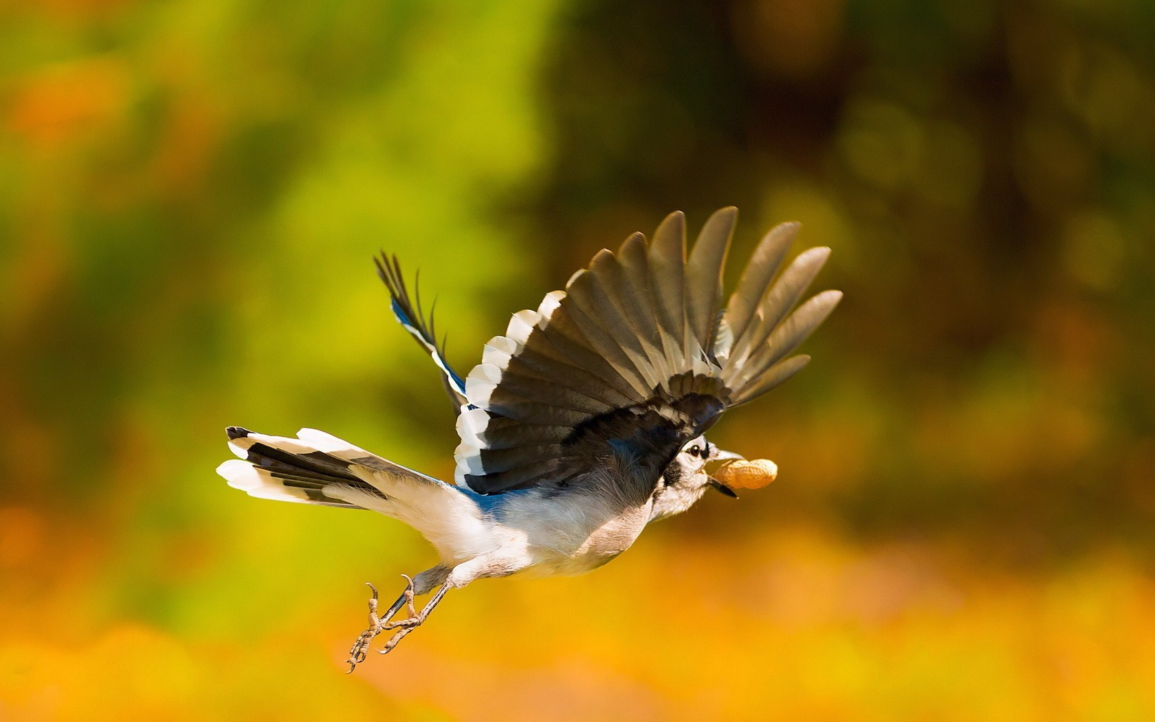 Beautiful Bird Jay Flight Nature Photo