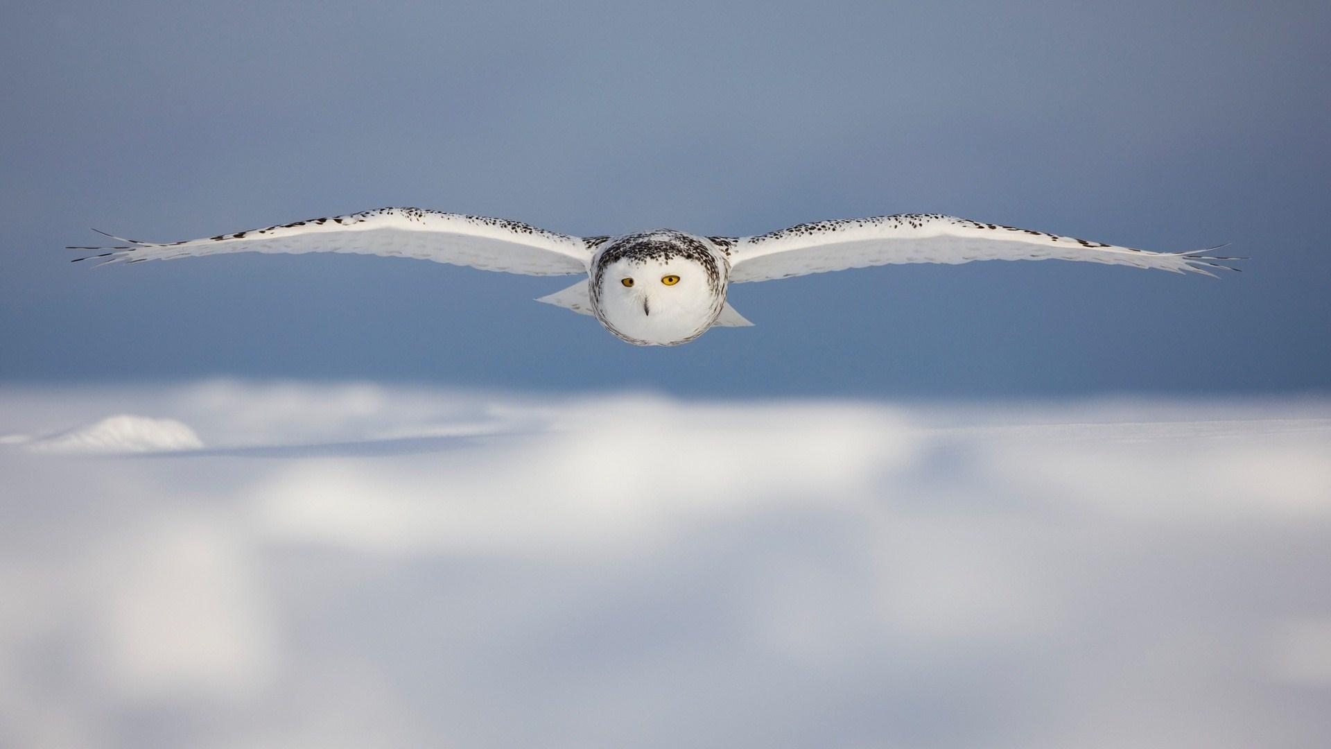 Beautiful Bird White Owl Flight Snow Winter