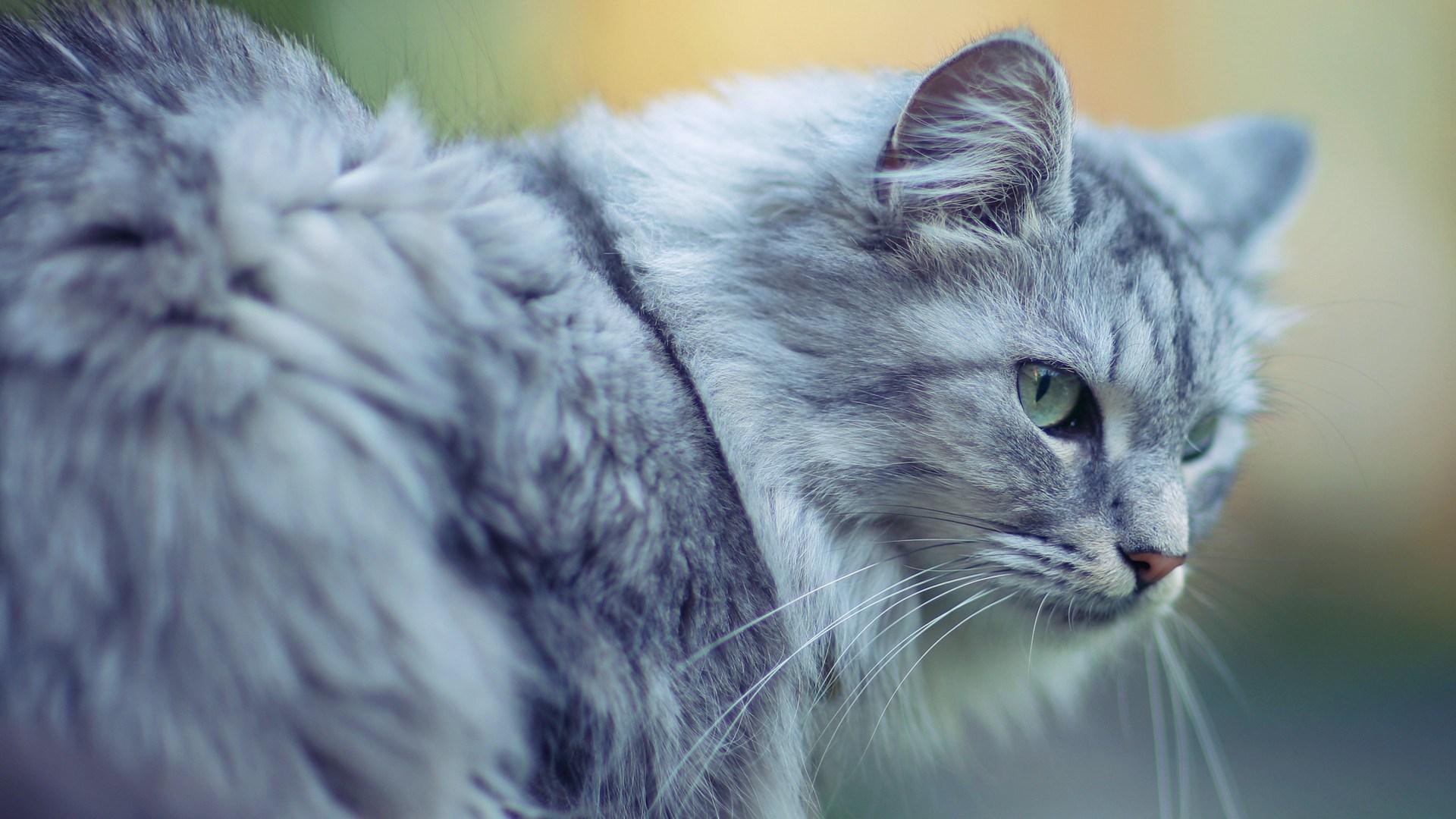 Beautiful Cat Close-Up Photo