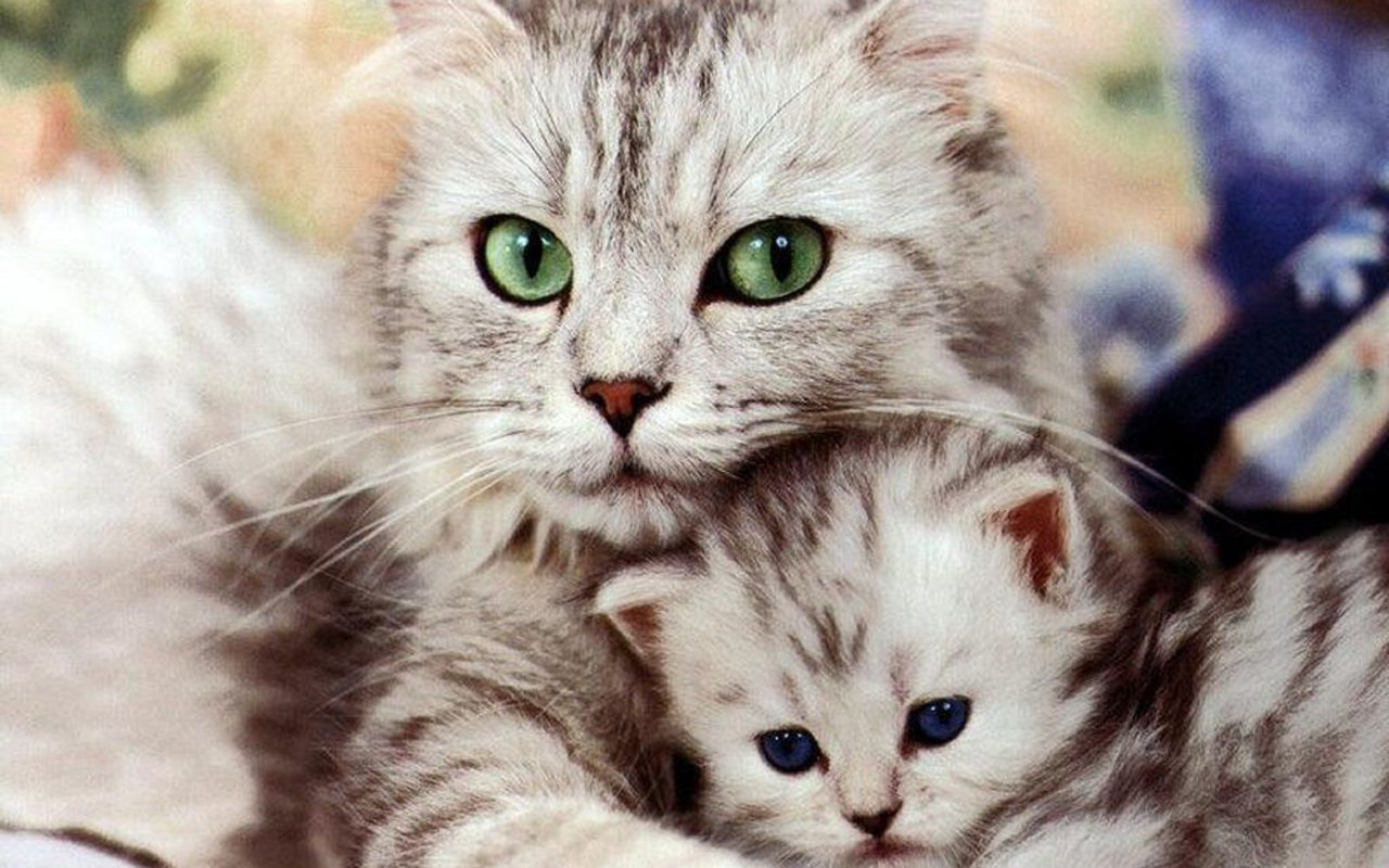 Cats Beautiful Cat and Kitten