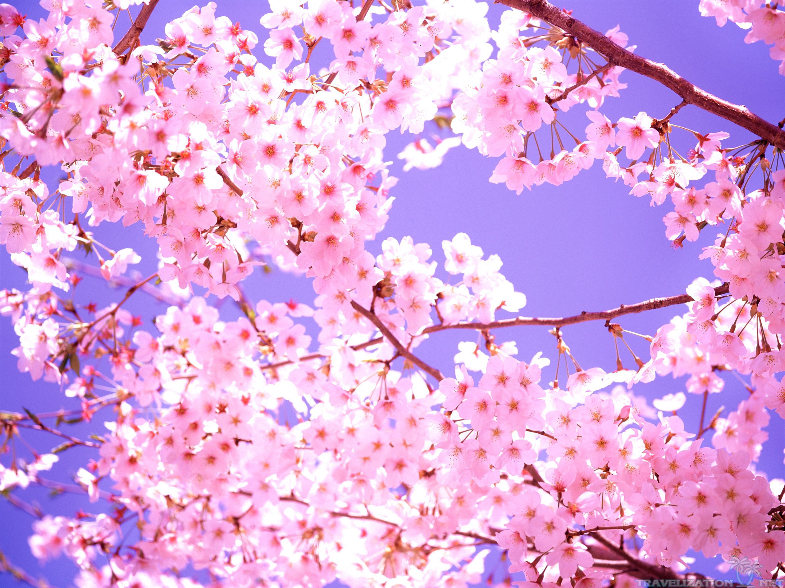 Beautiful Scene Cherry Blossom Wallpapers