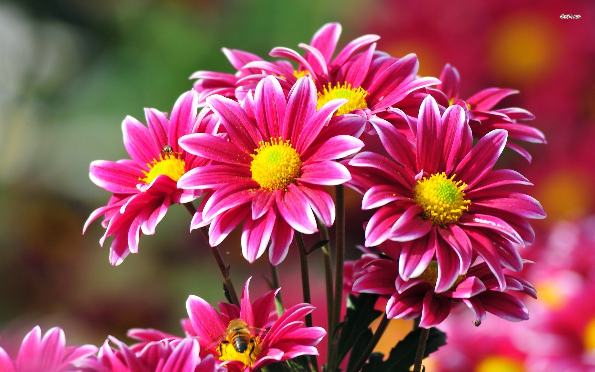 Beautiful Chrysanthemums