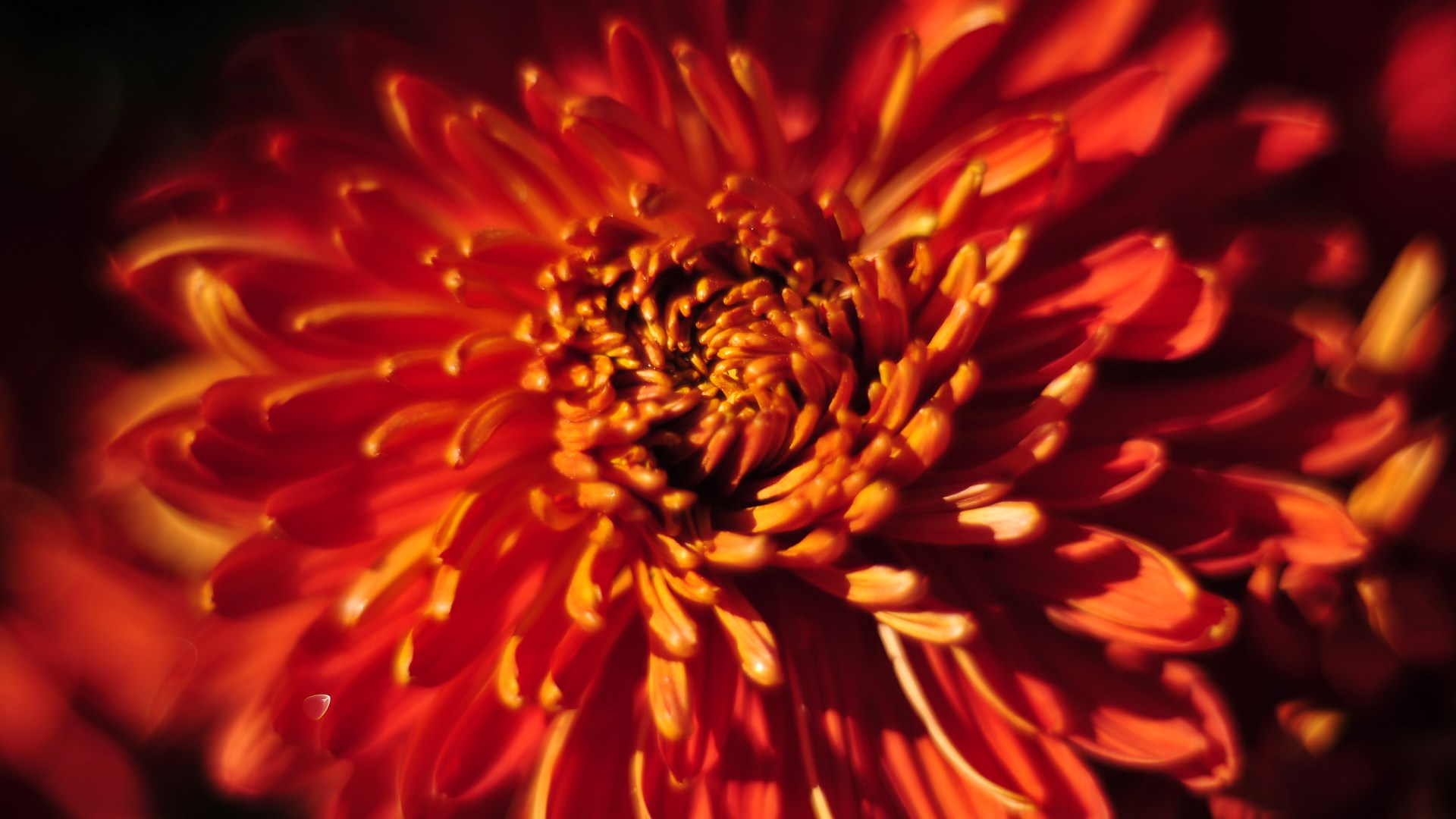 Beautiful Chrysanthemums Wallpaper