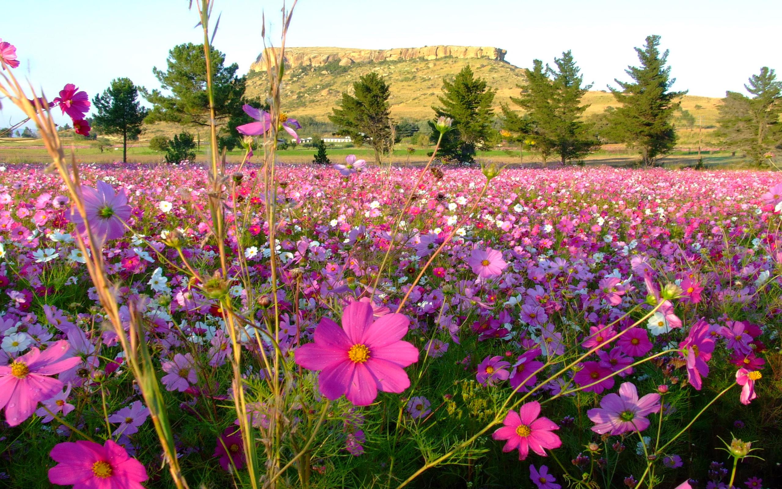 Beautiful Cosmos Flowers