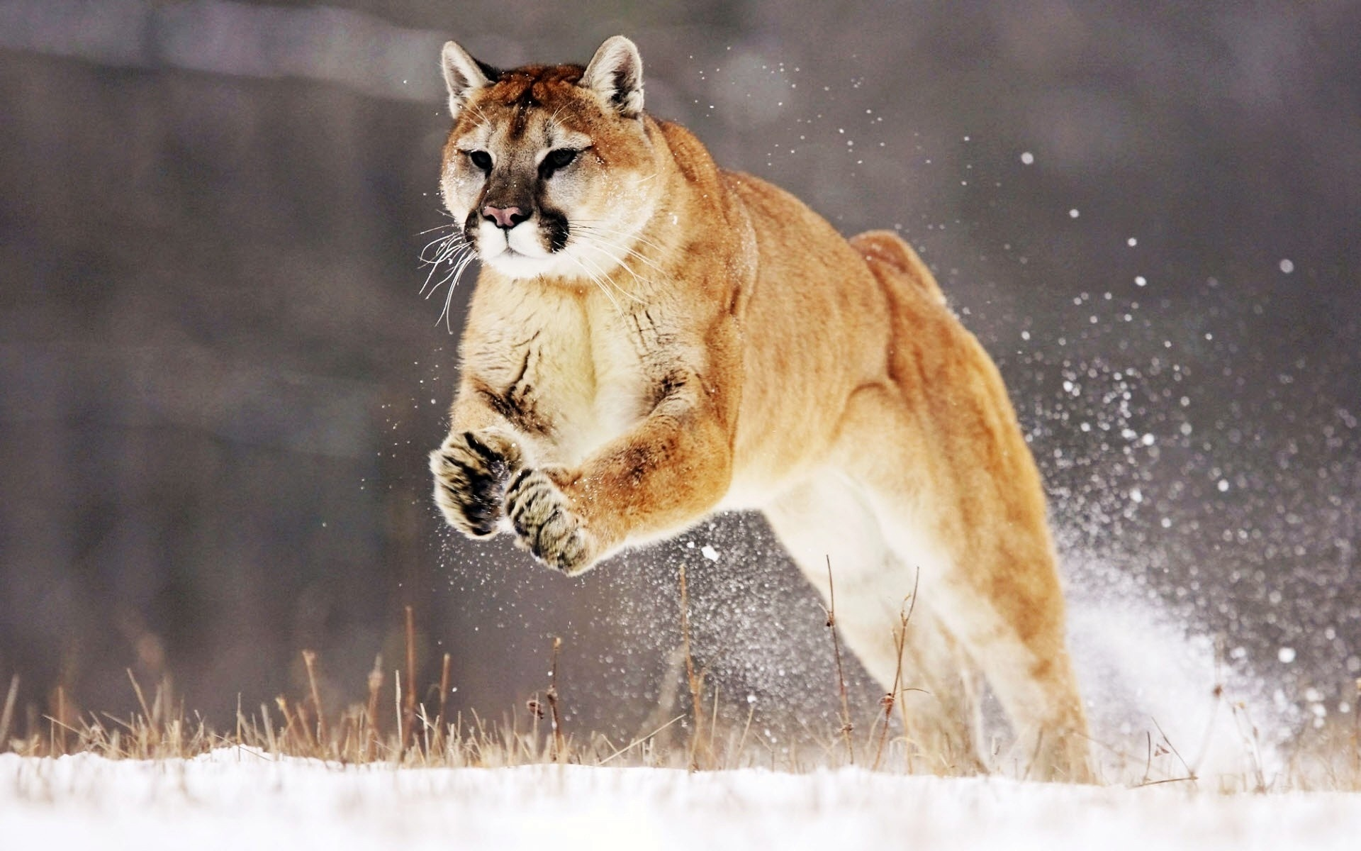 Cougar beautiful snow jump wallpaper 1920x1200.