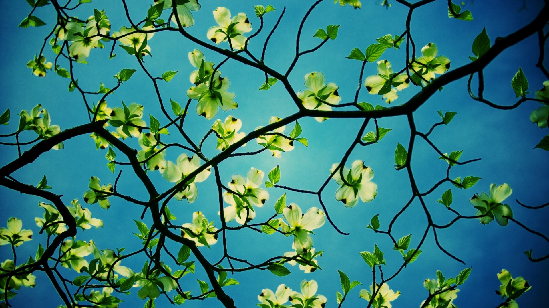 Beautiful Dogwood Flowers Wallpaper