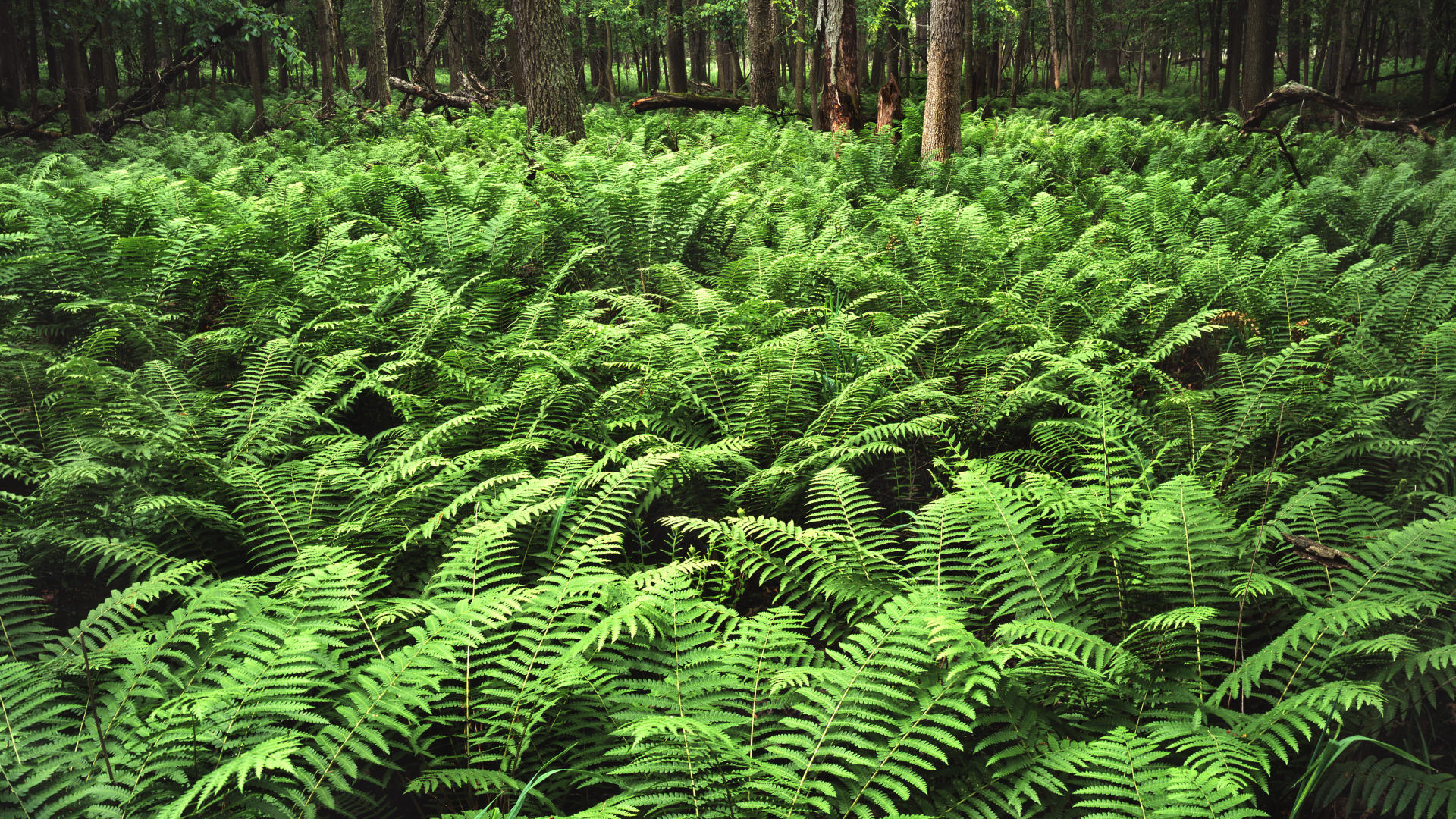 Beautiful Fern Wallpaper