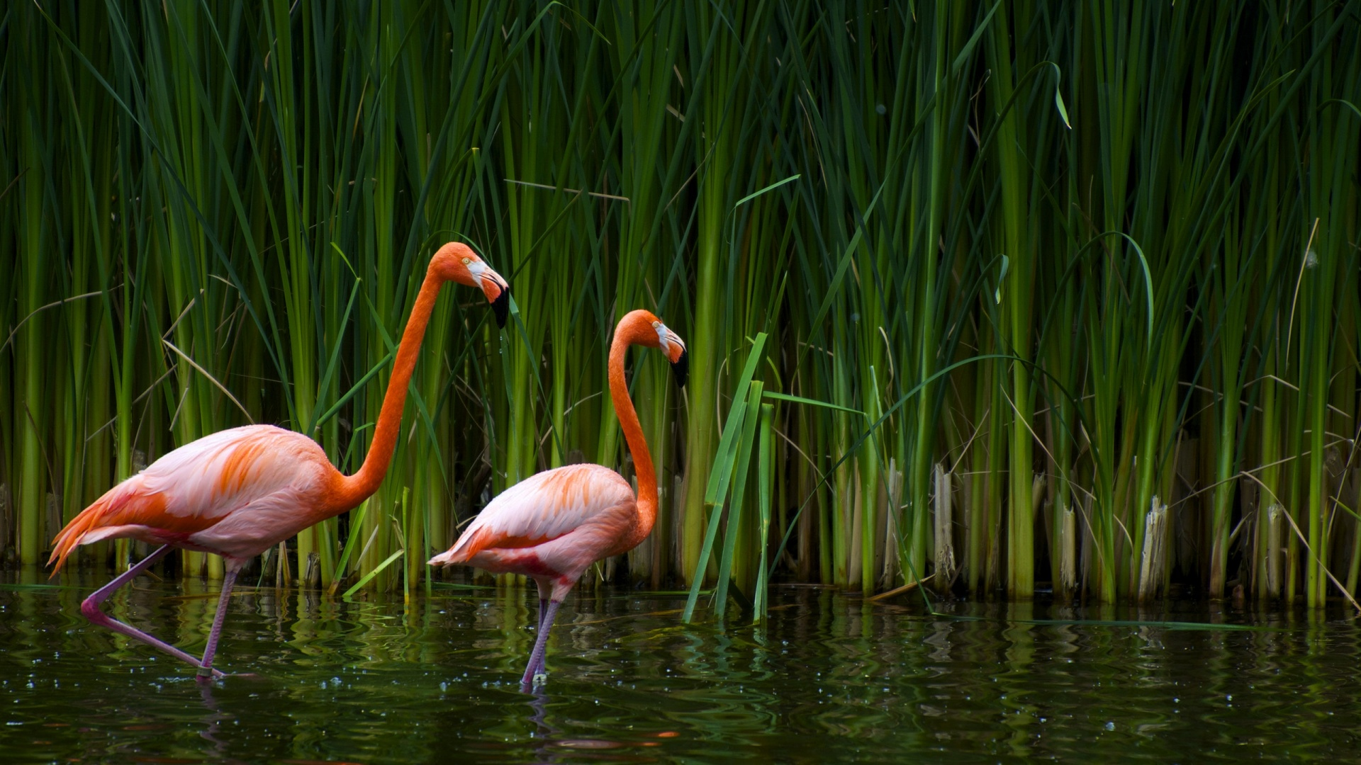 Beautiful Flamingos Wallpaper in 1920x1080 HD Resolutions