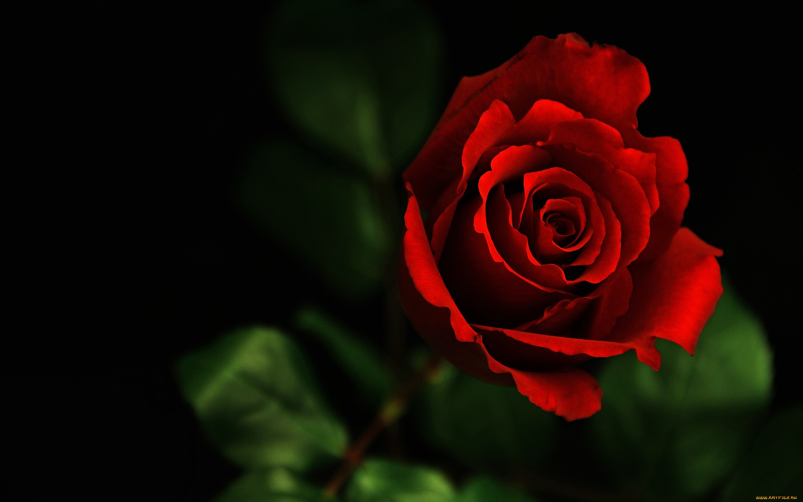Beautiful Flower Red Rose Photo