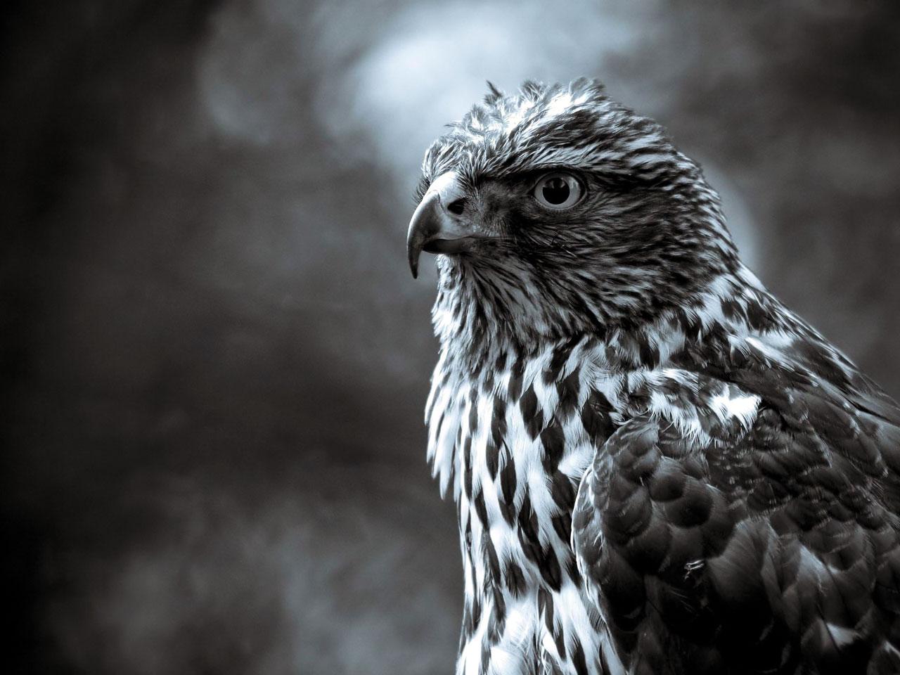 hawk resting picture hawk wallpaper hunting hawk