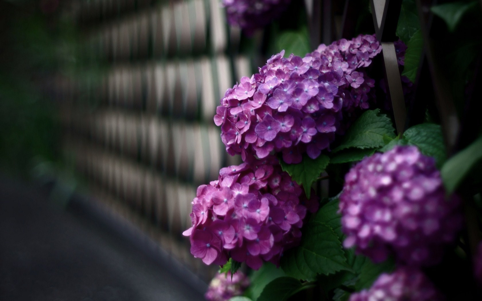 Beautiful Hydrangea Flowers
