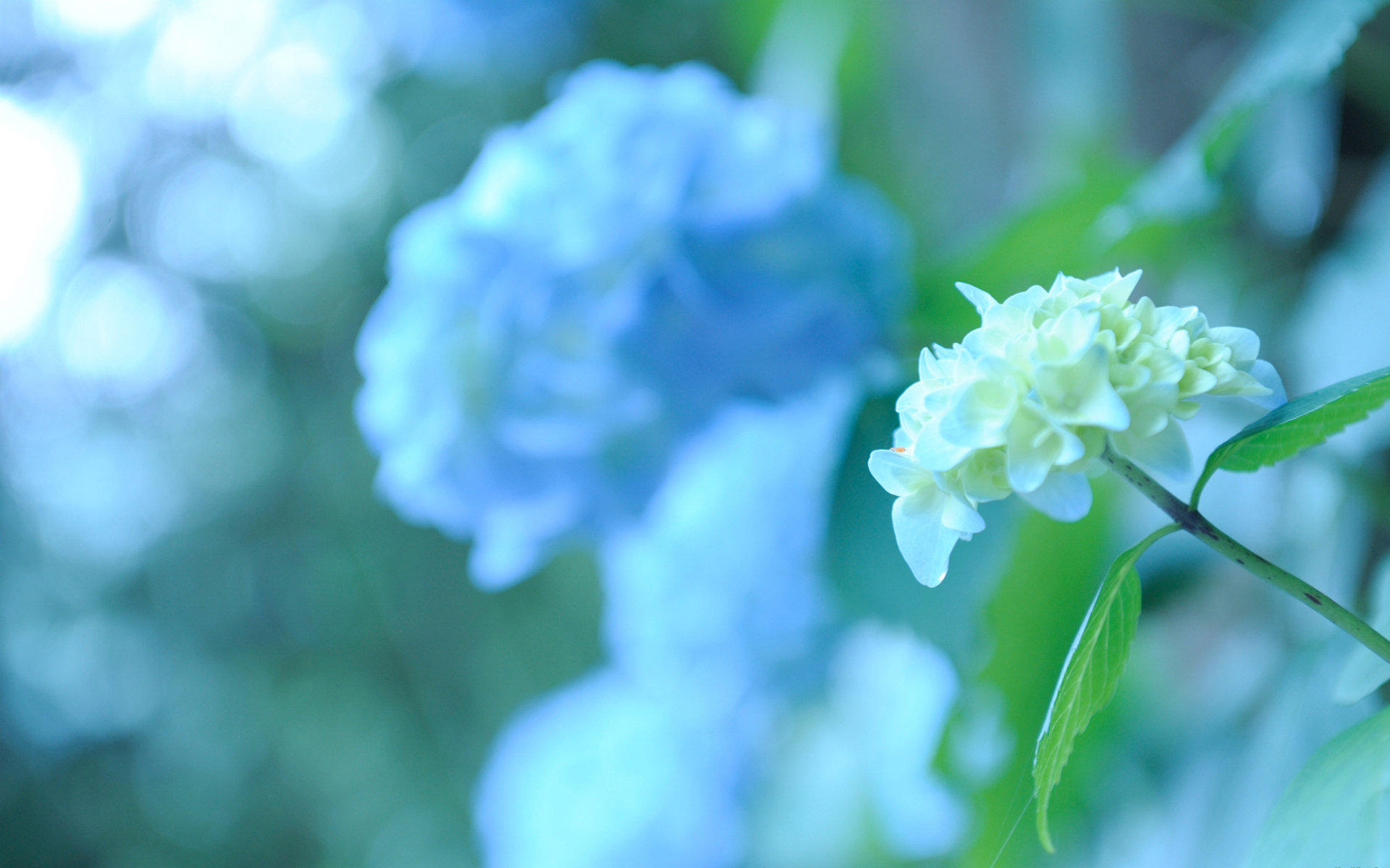 Beautiful Hydrangea Best Hd Wallpaper