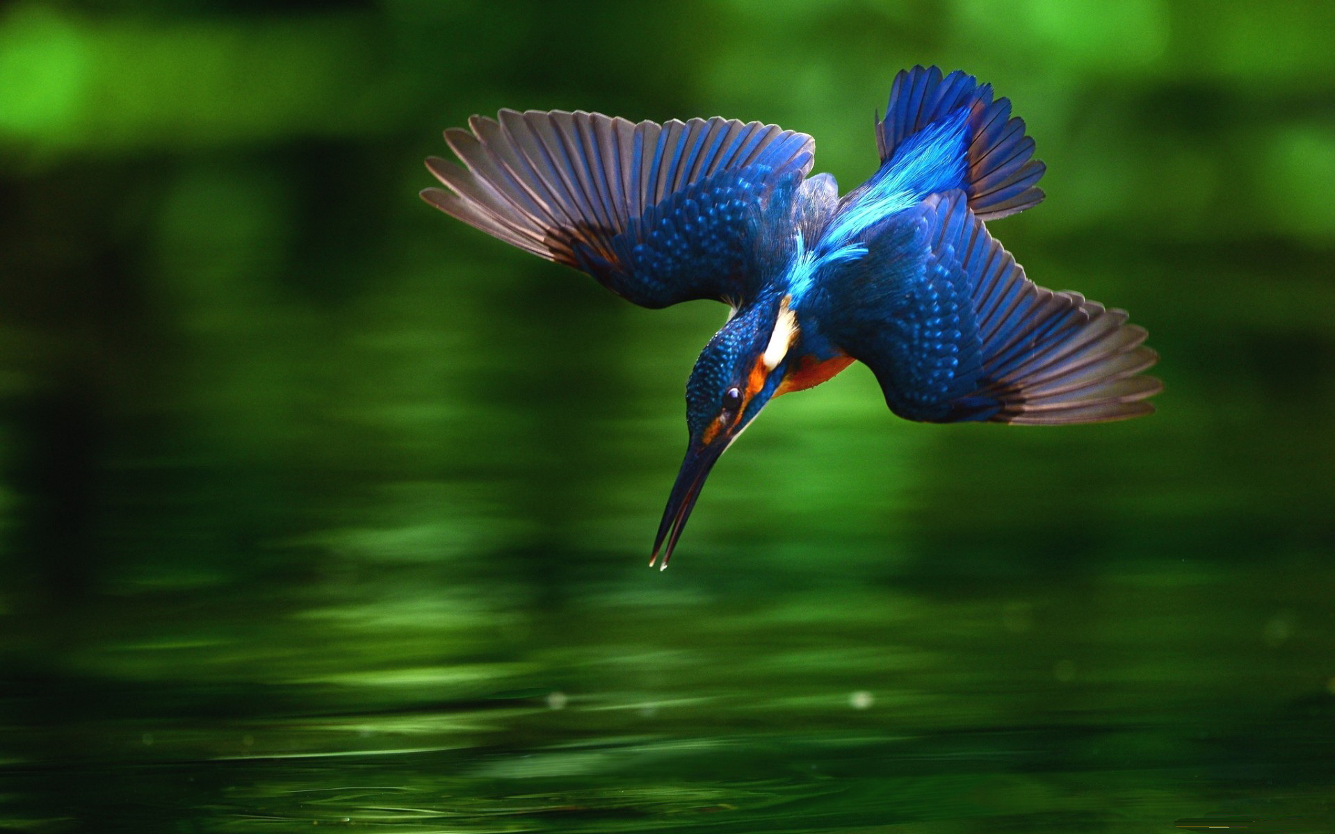 Beautiful Kingfisher Wide Desktop Background HD wallpapers