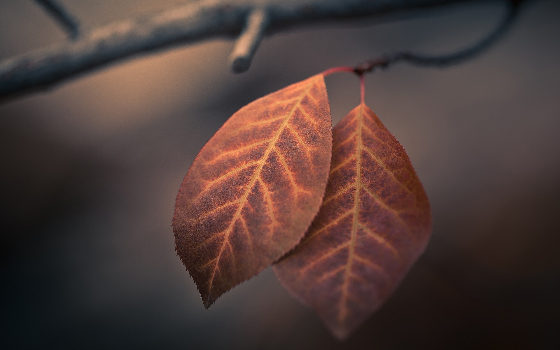 "Download the following Pretty Leaves Macro Wallpaper 39026 by clicking the orange button positioned underneath the ""Download Wallpaper"" section."