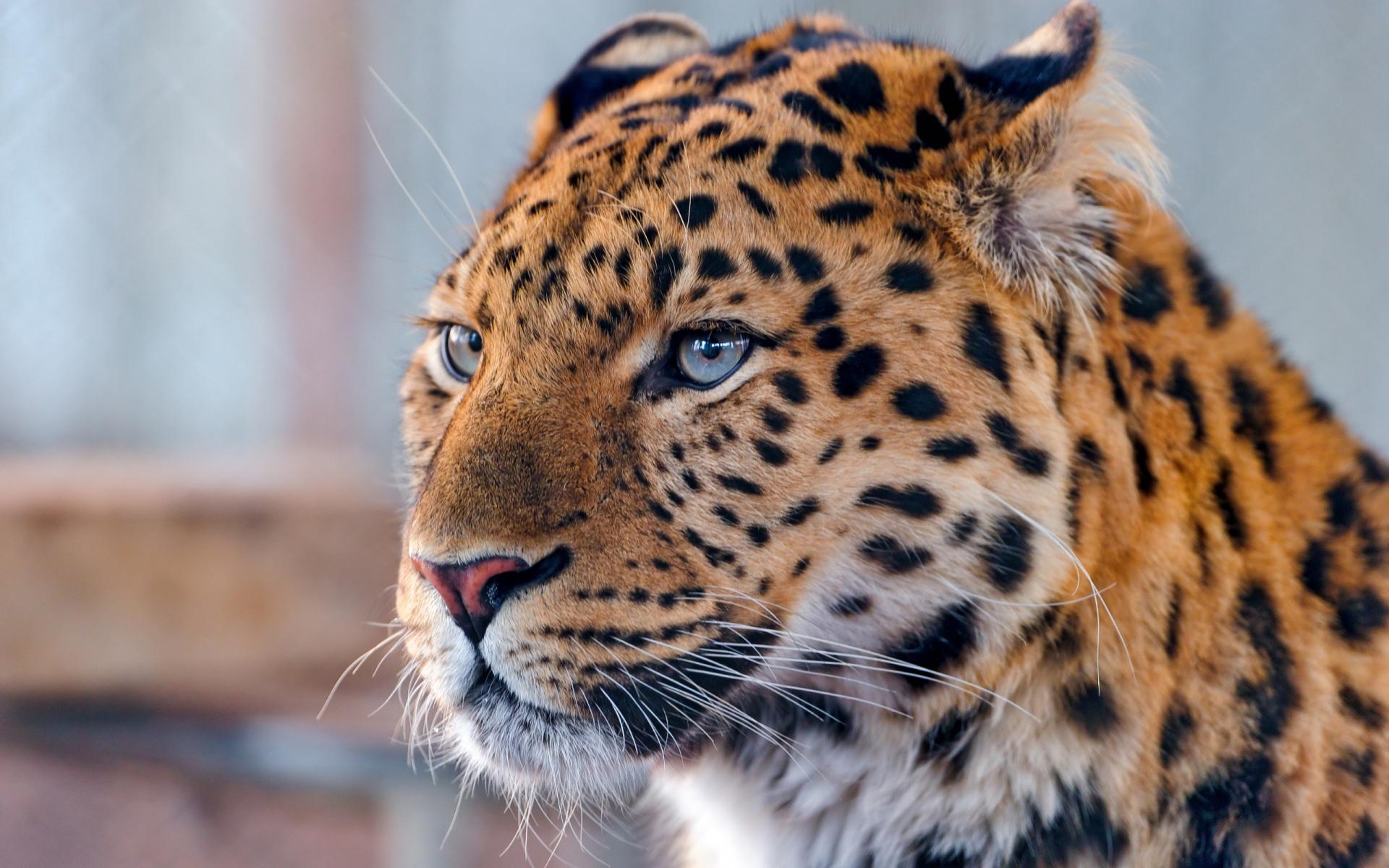 Beautiful Leopard Wallpaper