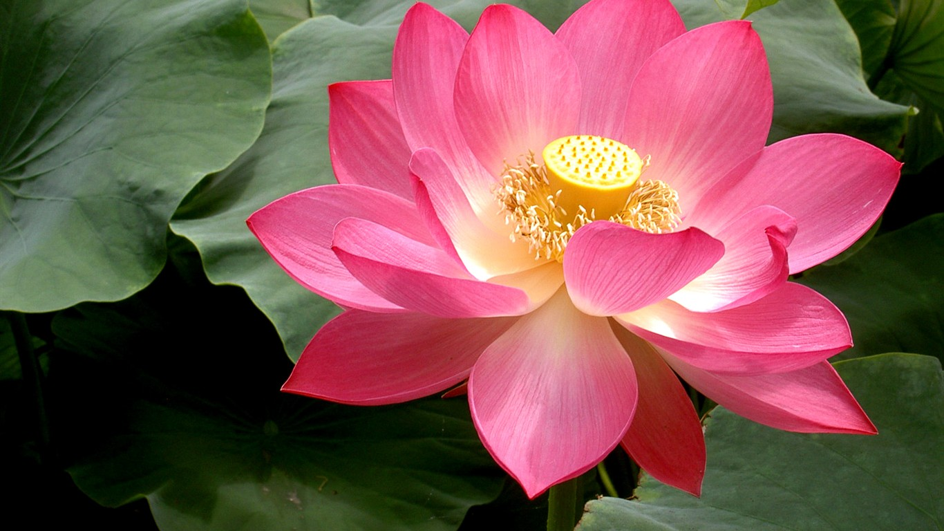 Beautiful lotus wallpaper #25 - 1366x768.