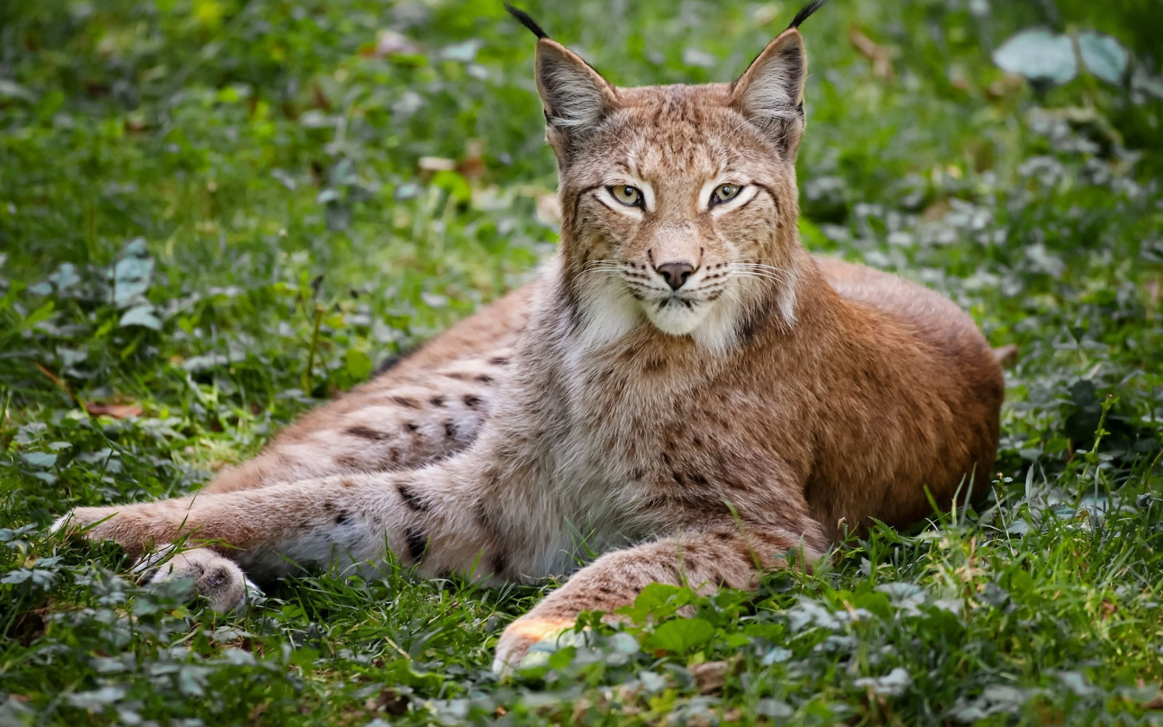 3840x2400 Wallpaper grass, wood, beautiful, big cat, lynx