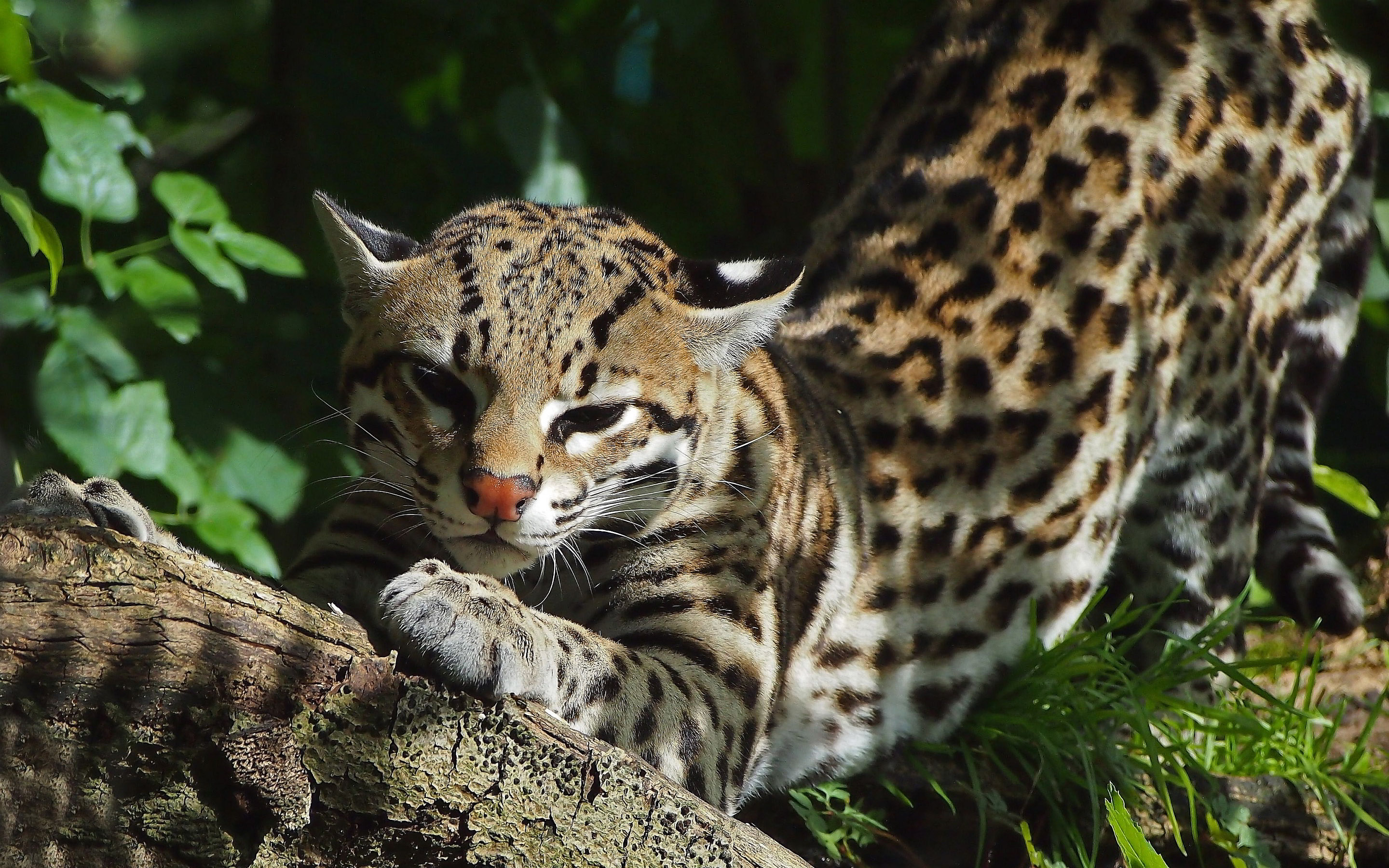 Beautiful Ocelot In The Bushes