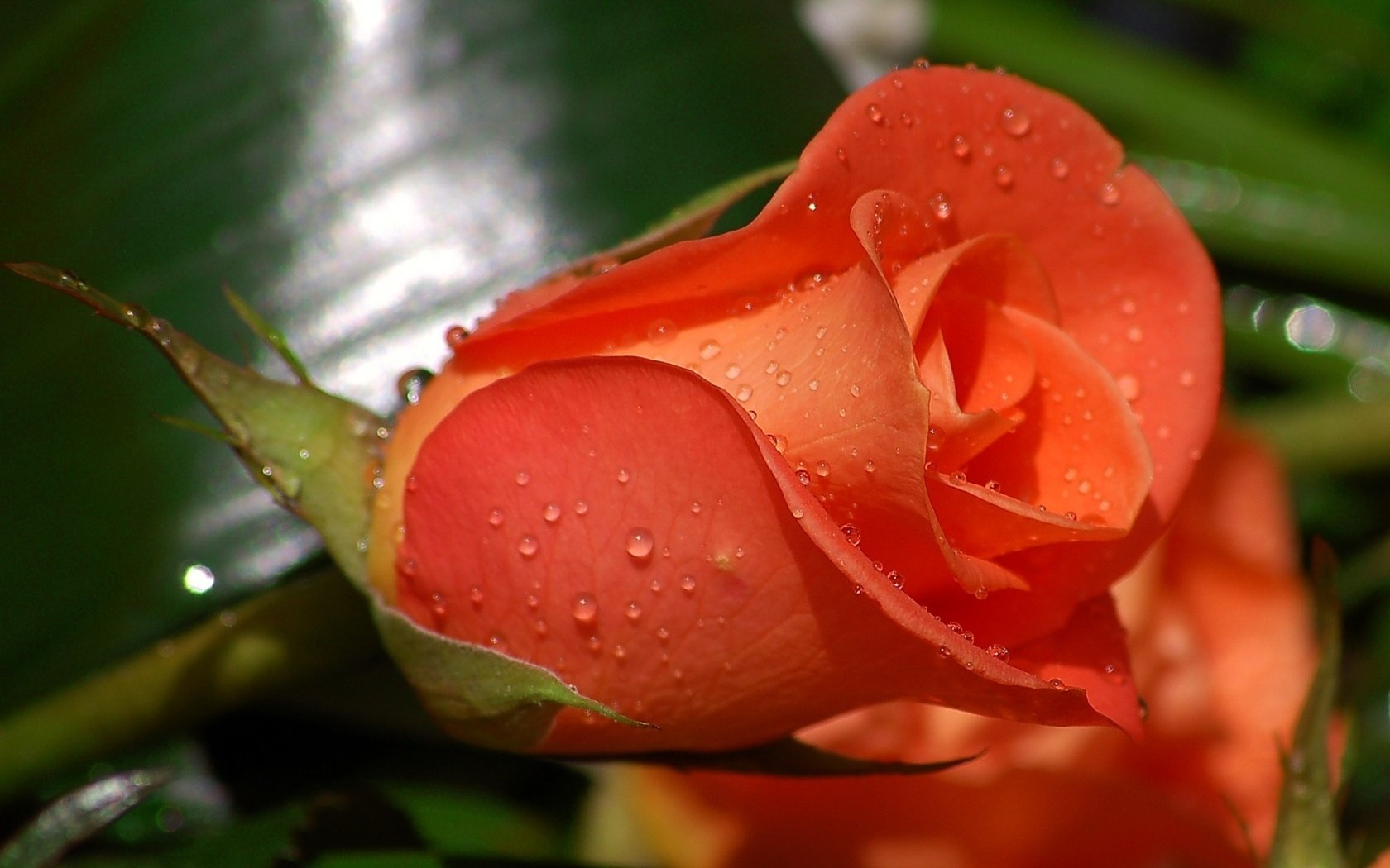 Beautiful Orange Rose HD Wallpaper