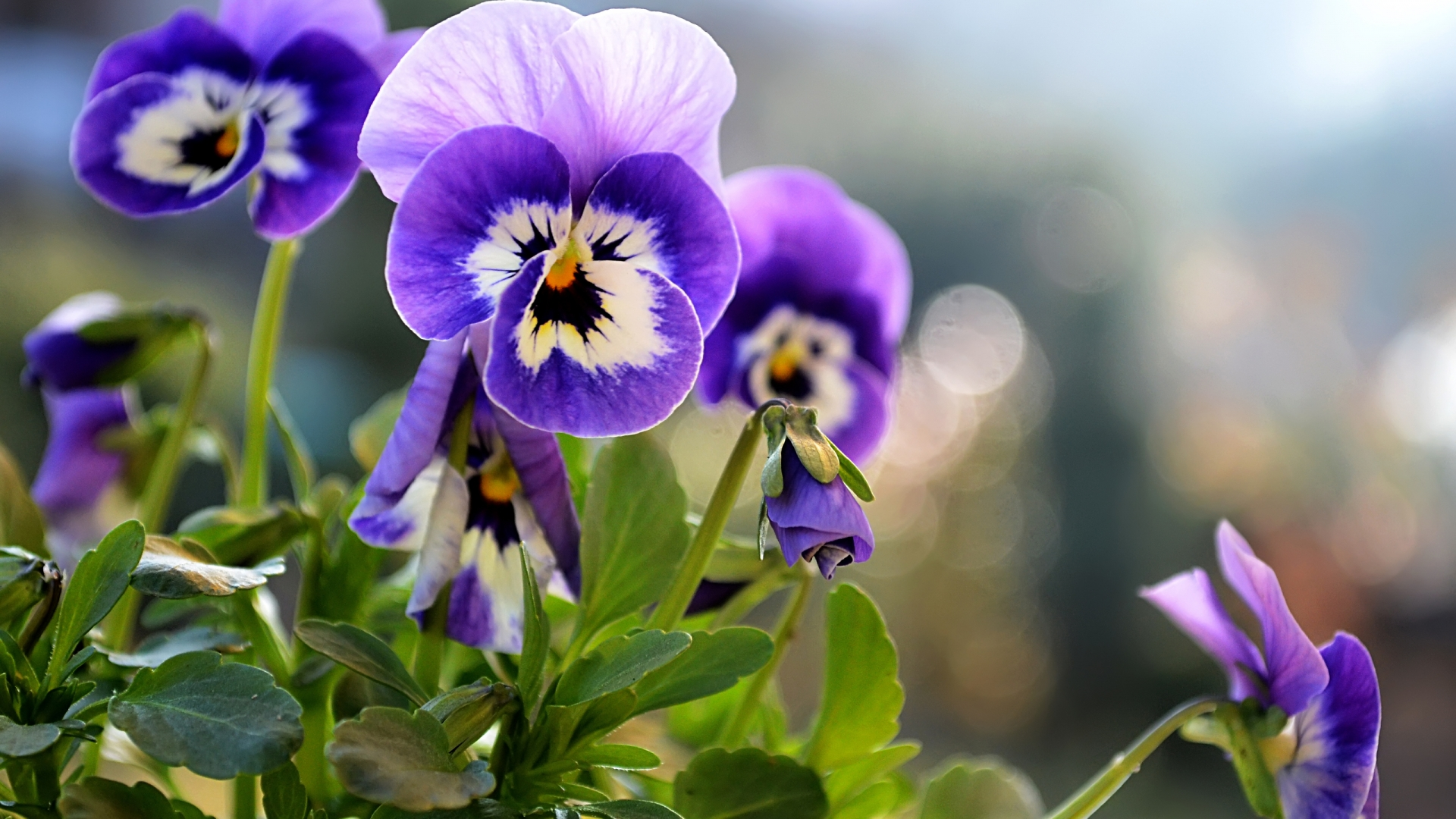 Beautiful Pansies Wallpaper