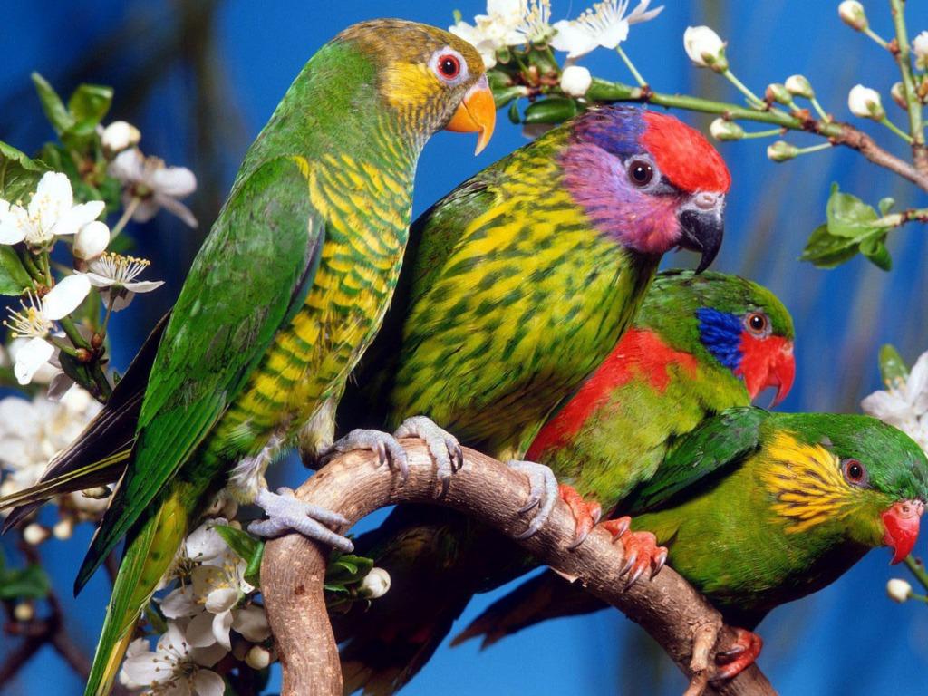 ... Parrots Desktop HD Wallpapers