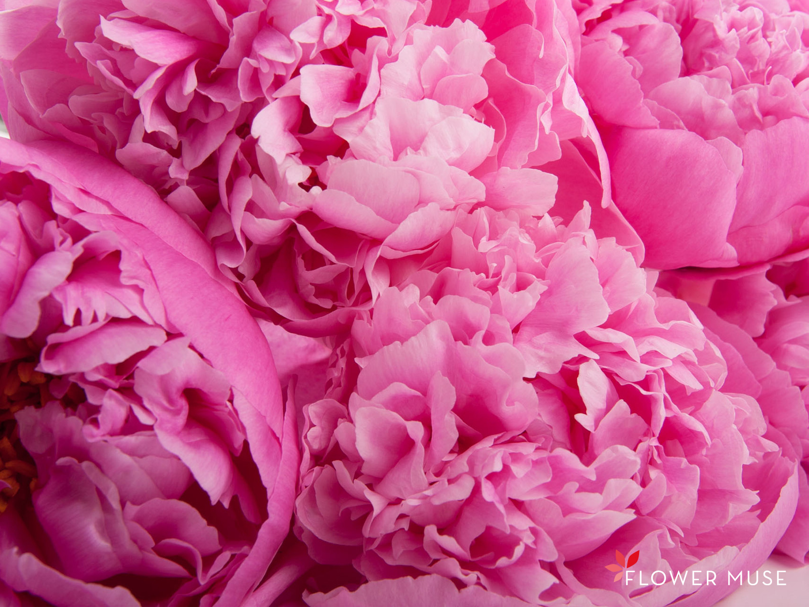 Beautiful Peony Wallpaper