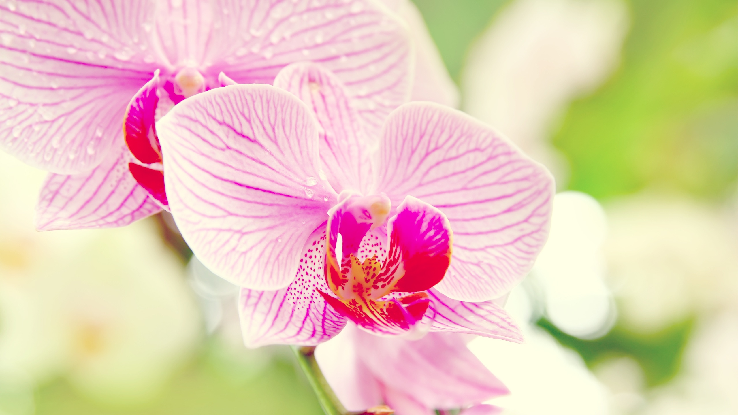 Beautiful Phalaenopsis Wallpaper