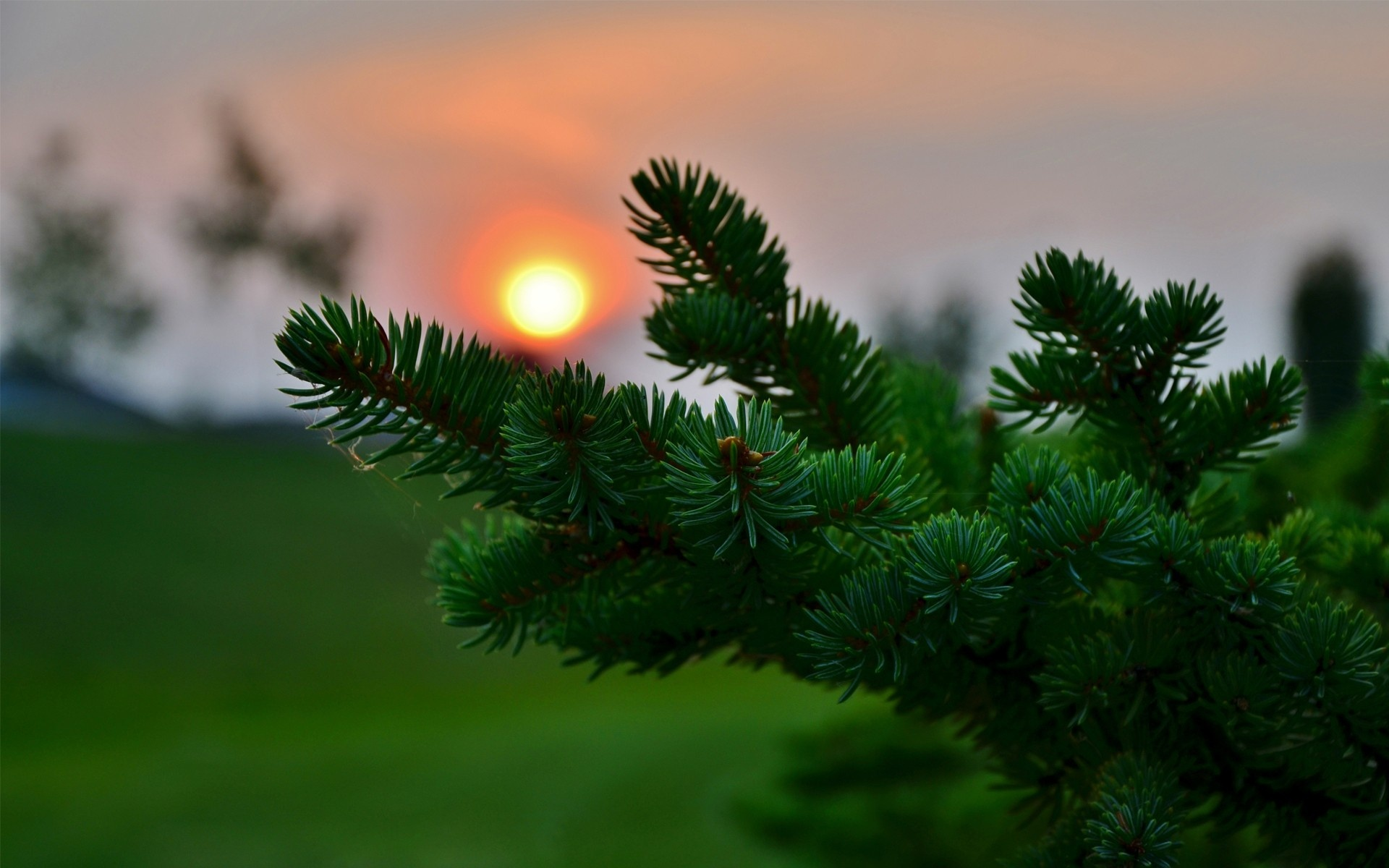 Beautiful Pine Branch HD wallpapers