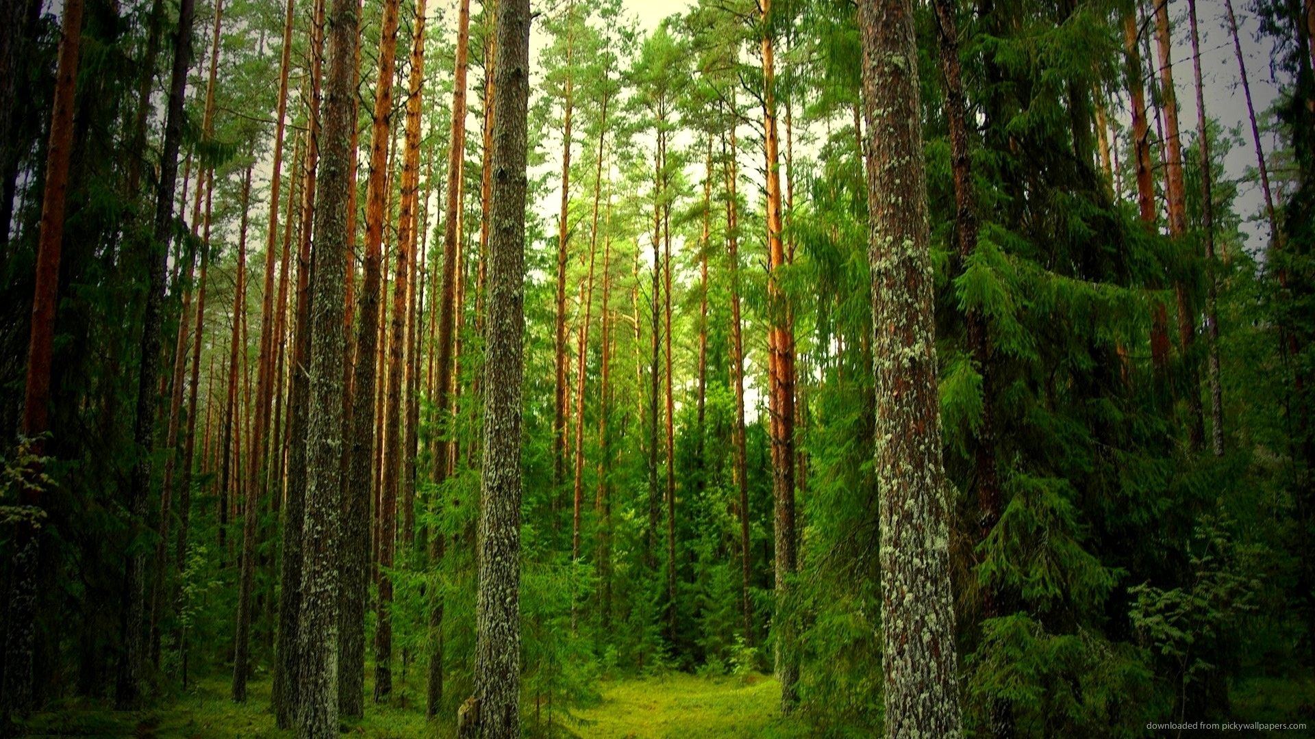 Beautiful Pine Forest Wallpaper Picture for Iphone Blackberry 1920x1080px