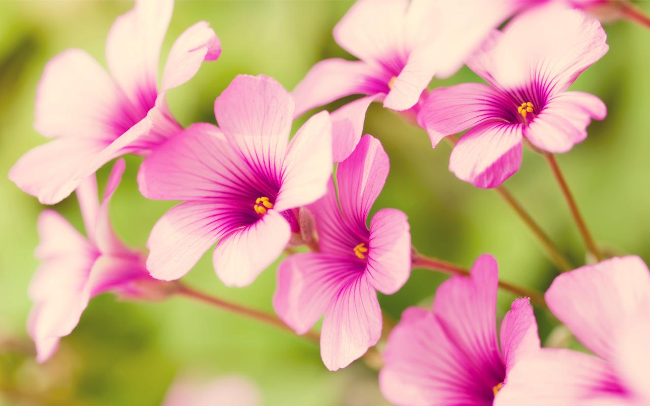 Beautiful Pink Flowers For You Wallpaper