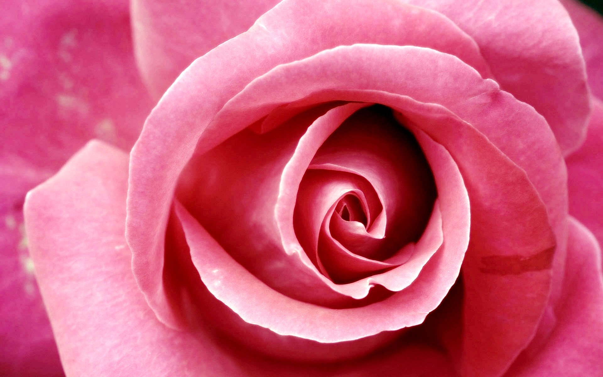Beautiful Pink Macro Wallpaper