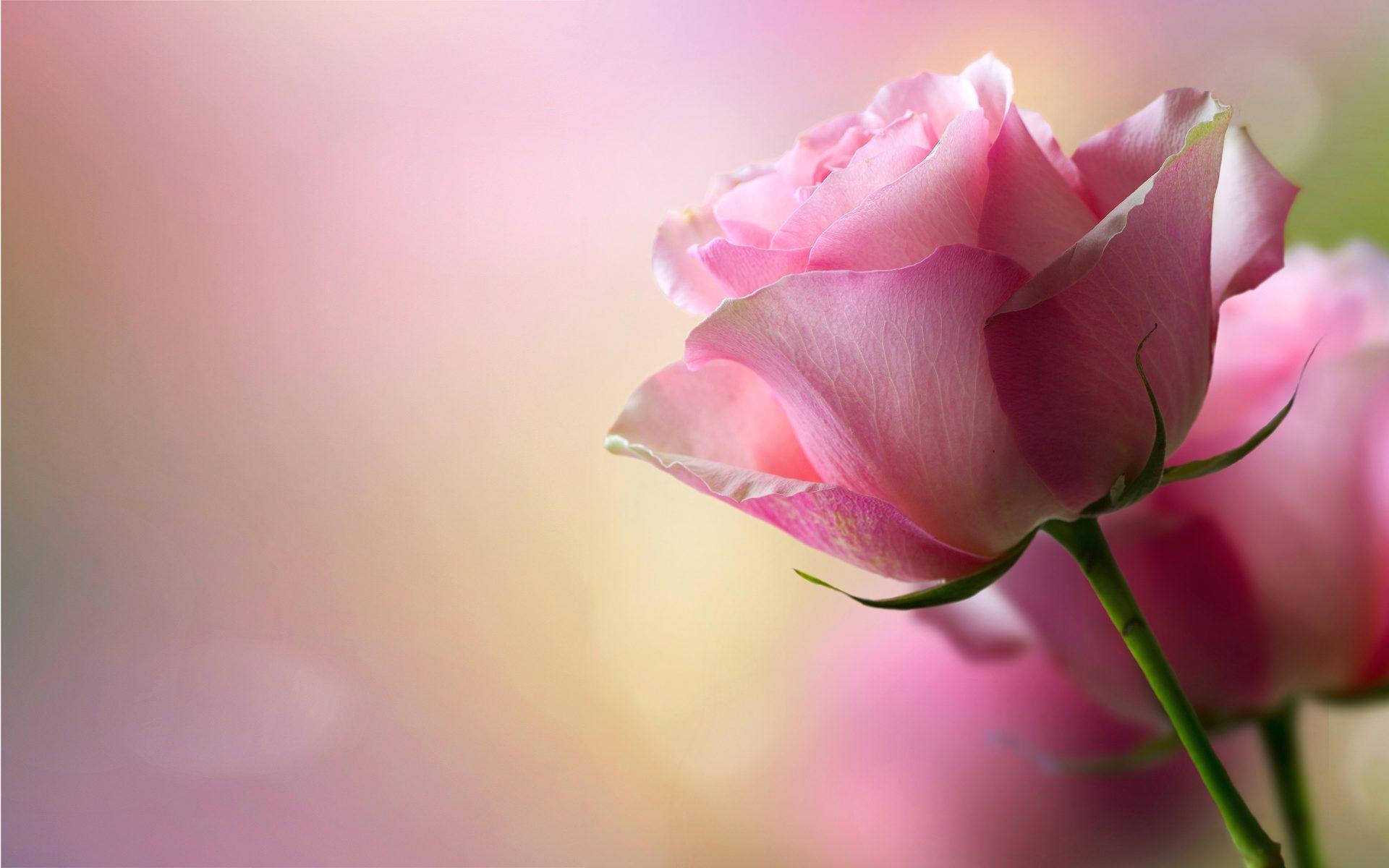Beautiful Pink Roses Wallpaper