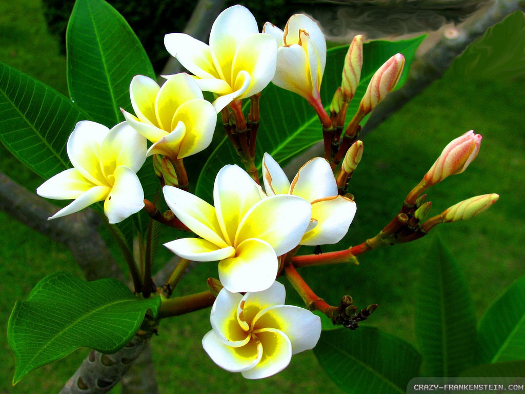 Wallpaper: Plumeria beautiful flowers wallpapers