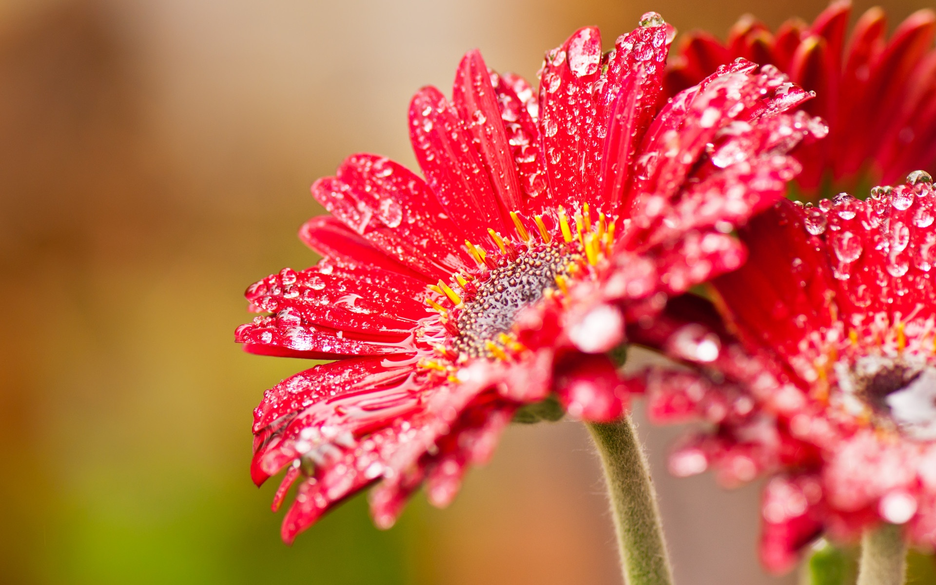 Beautiful Red Daisies