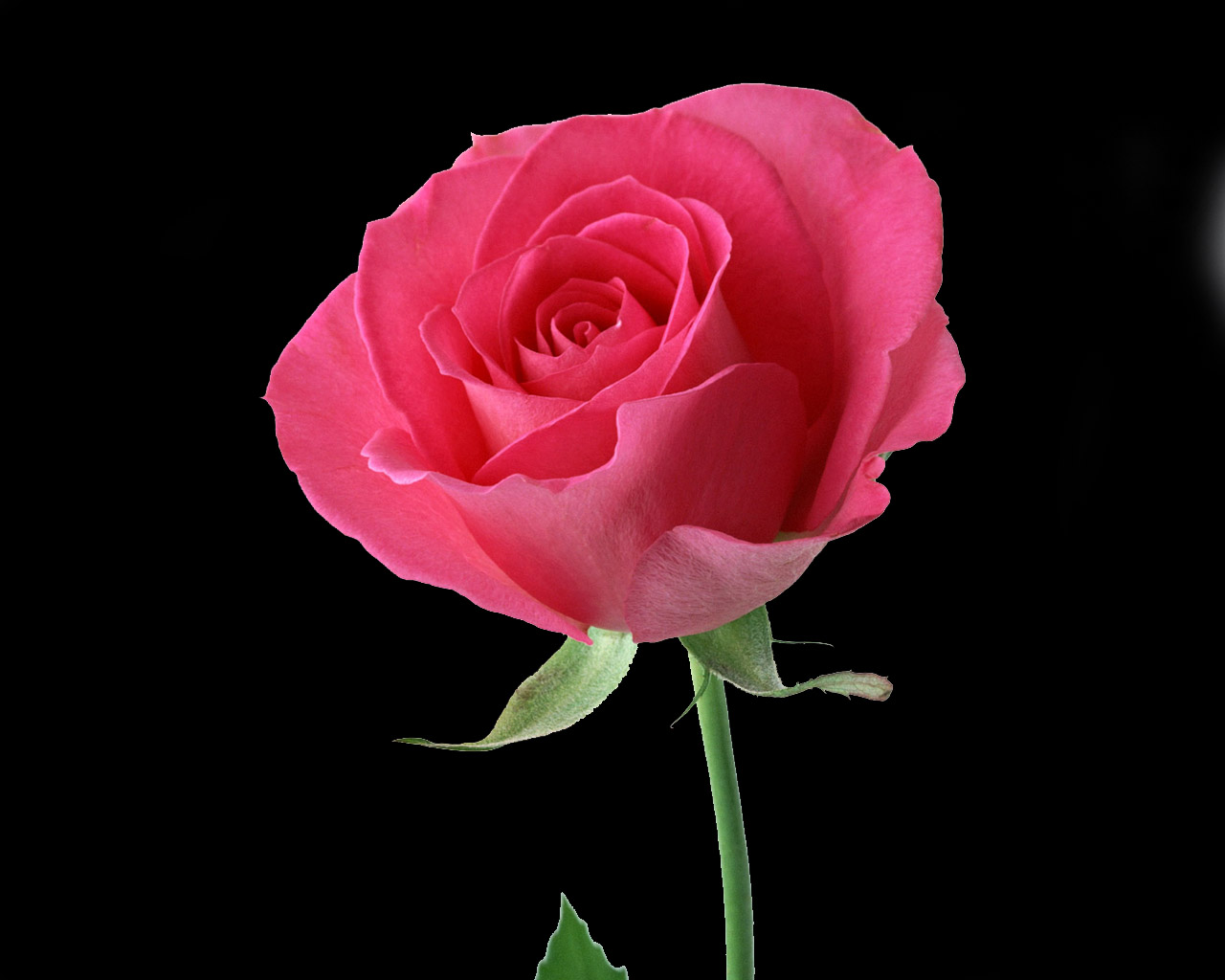 Beautiful Red Rose Flower Photo