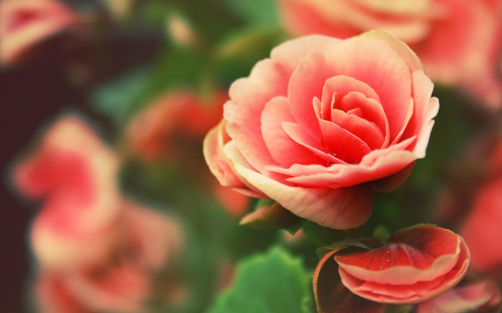 Beautiful Roses Flowers Nature Close-Up Photo