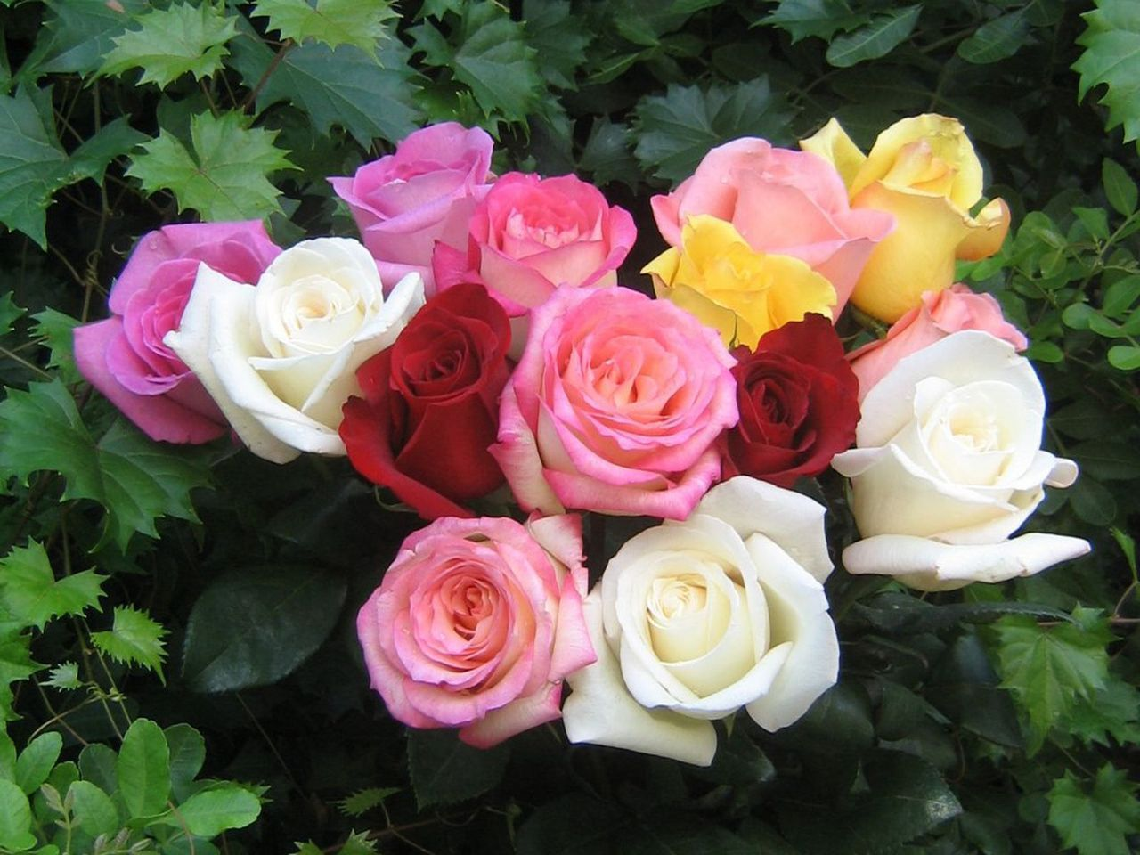 Beautiful Color - roses Wallpaper