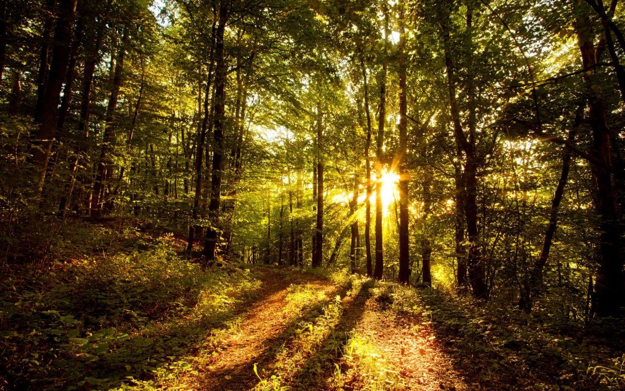 Beautiful Sun Rays Forest Wallpaper Wallpaper