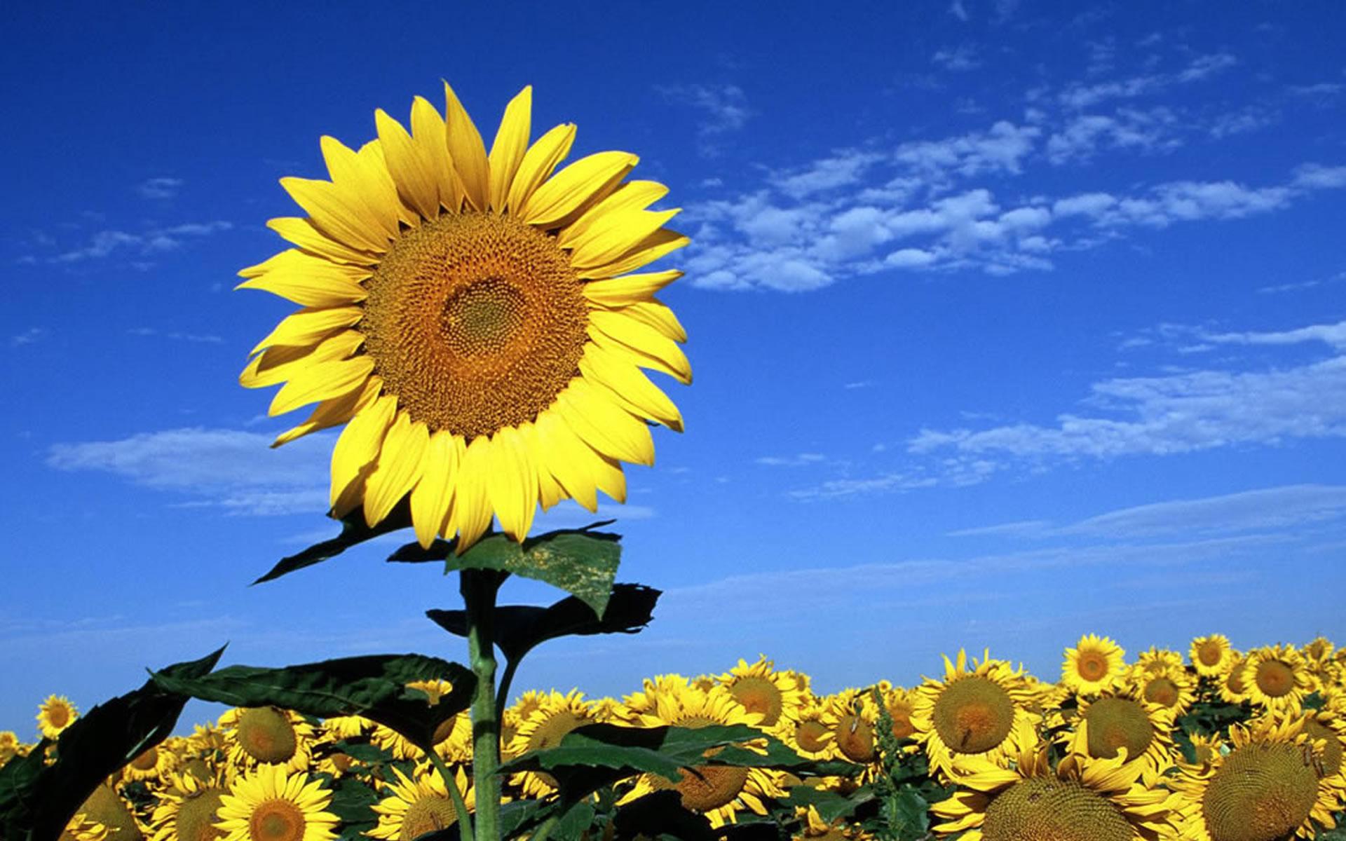 ... beautiful-sunflower-wallpapers-alone ...