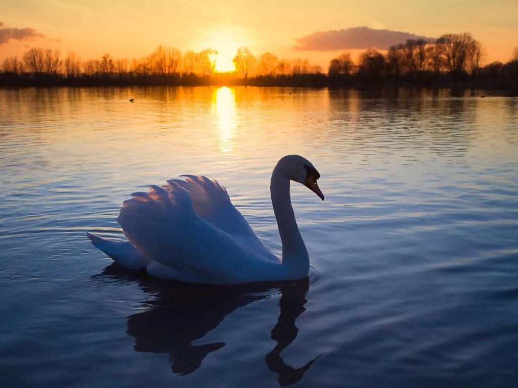 Beautiful Swan On Lake