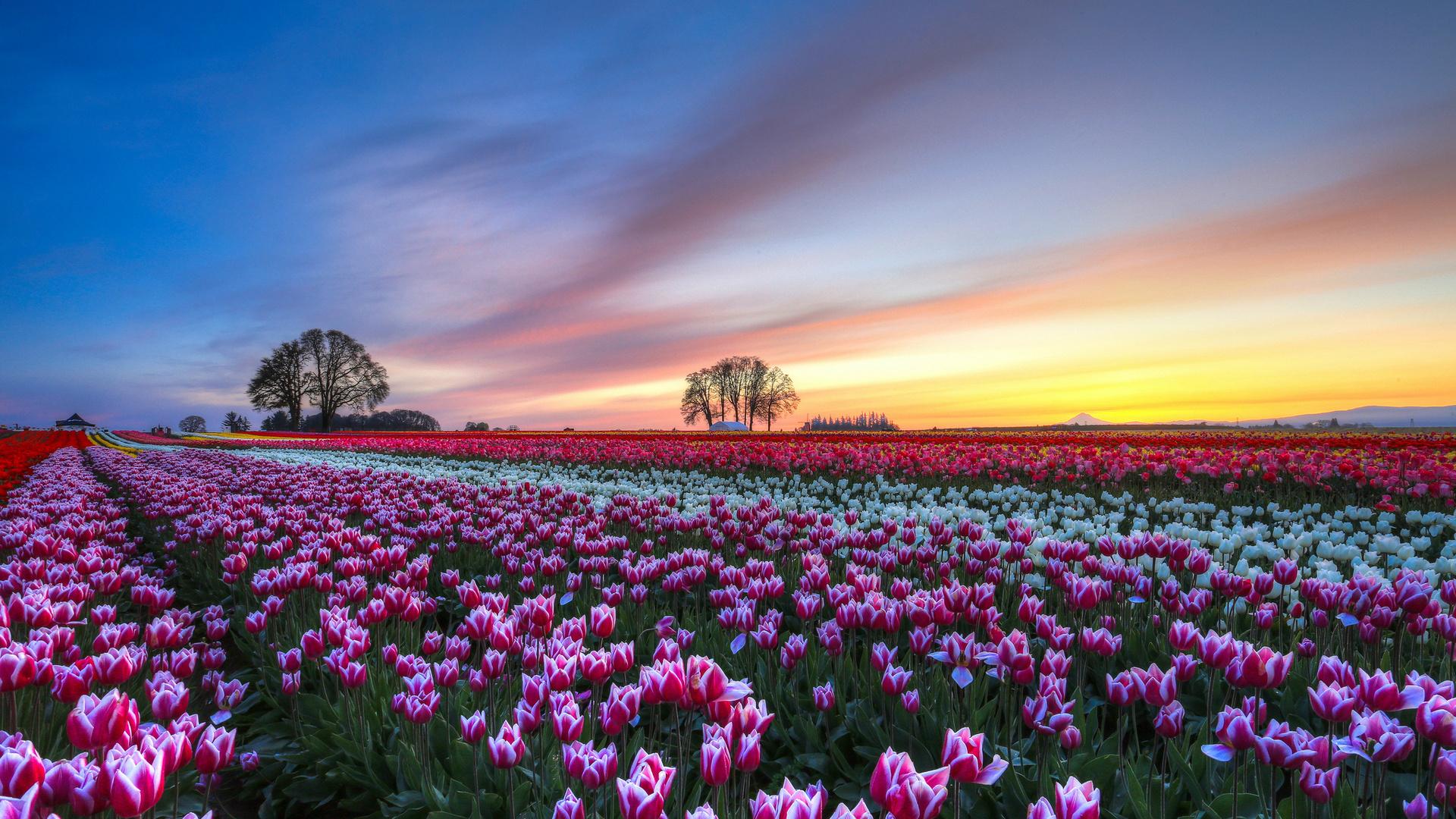 Beautiful Tulip Field Wallpaper