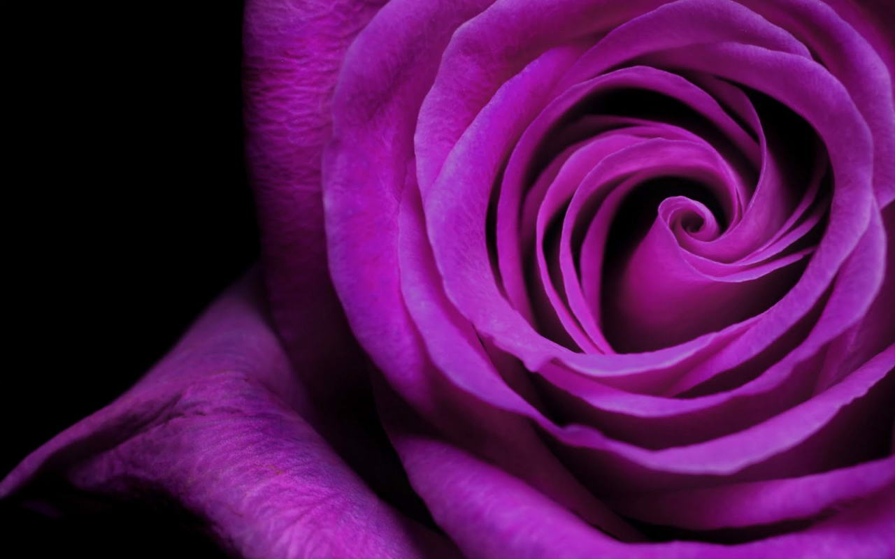 Wonderful Violet Rose Flower Beautiful Wallpaper