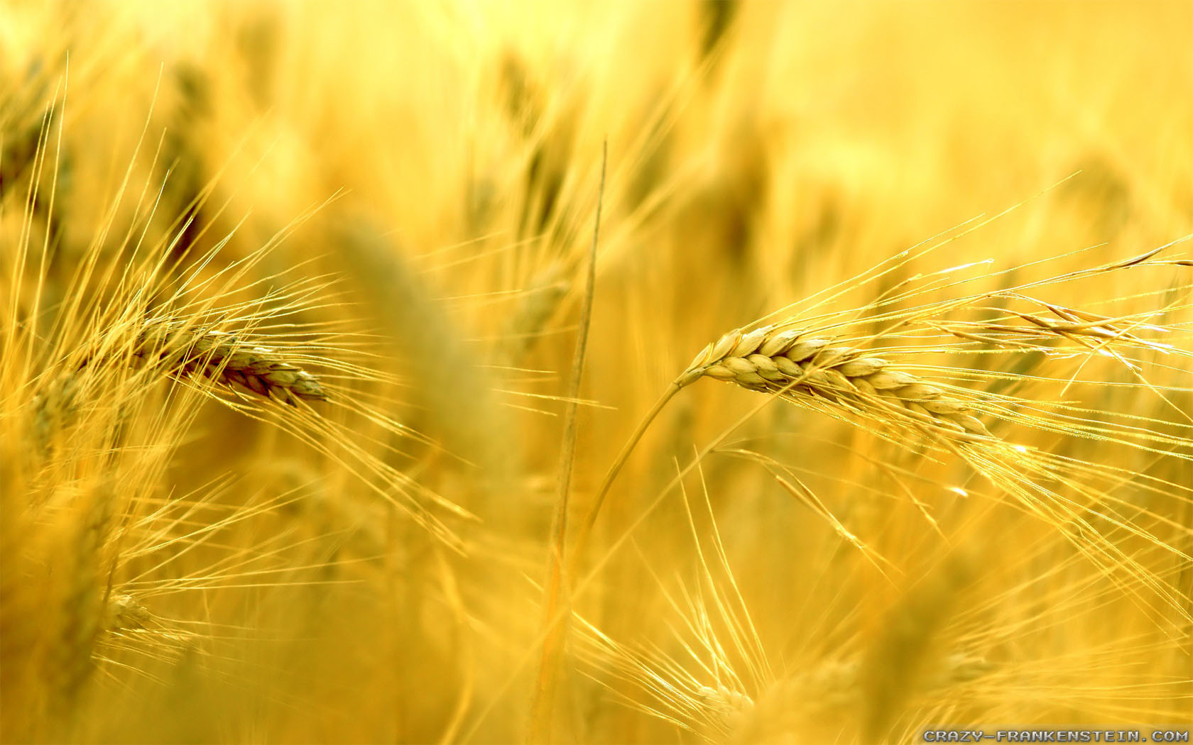 Beautiful Wheat Pictures