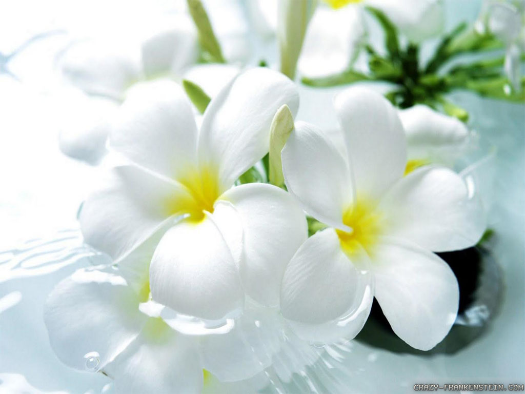 Beautiful White Flowers Wallpaper 9157