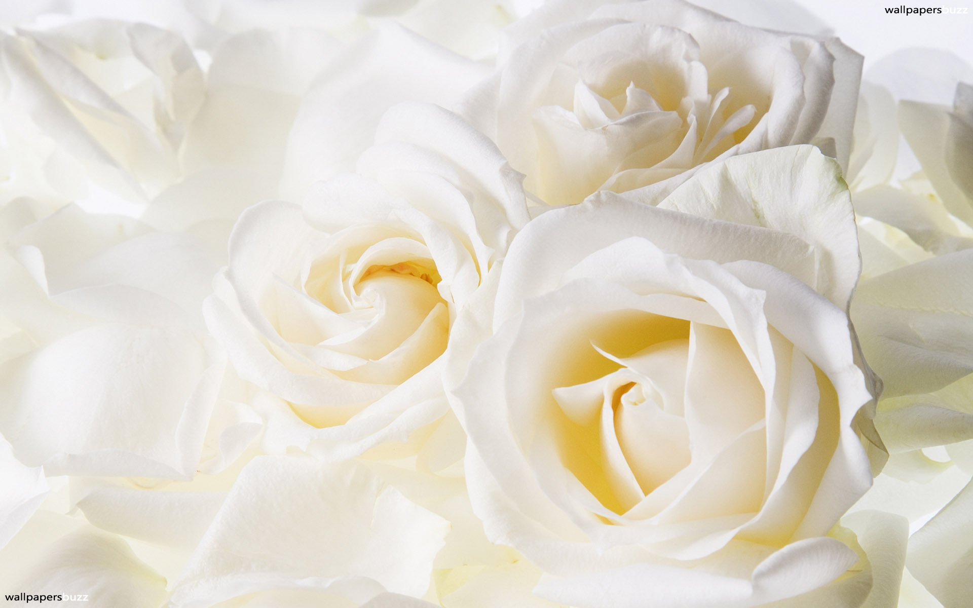 Pretty Rose Wallpaper: Wallpapers for Gt Beautiful White Rose Flowers 1920x1200px