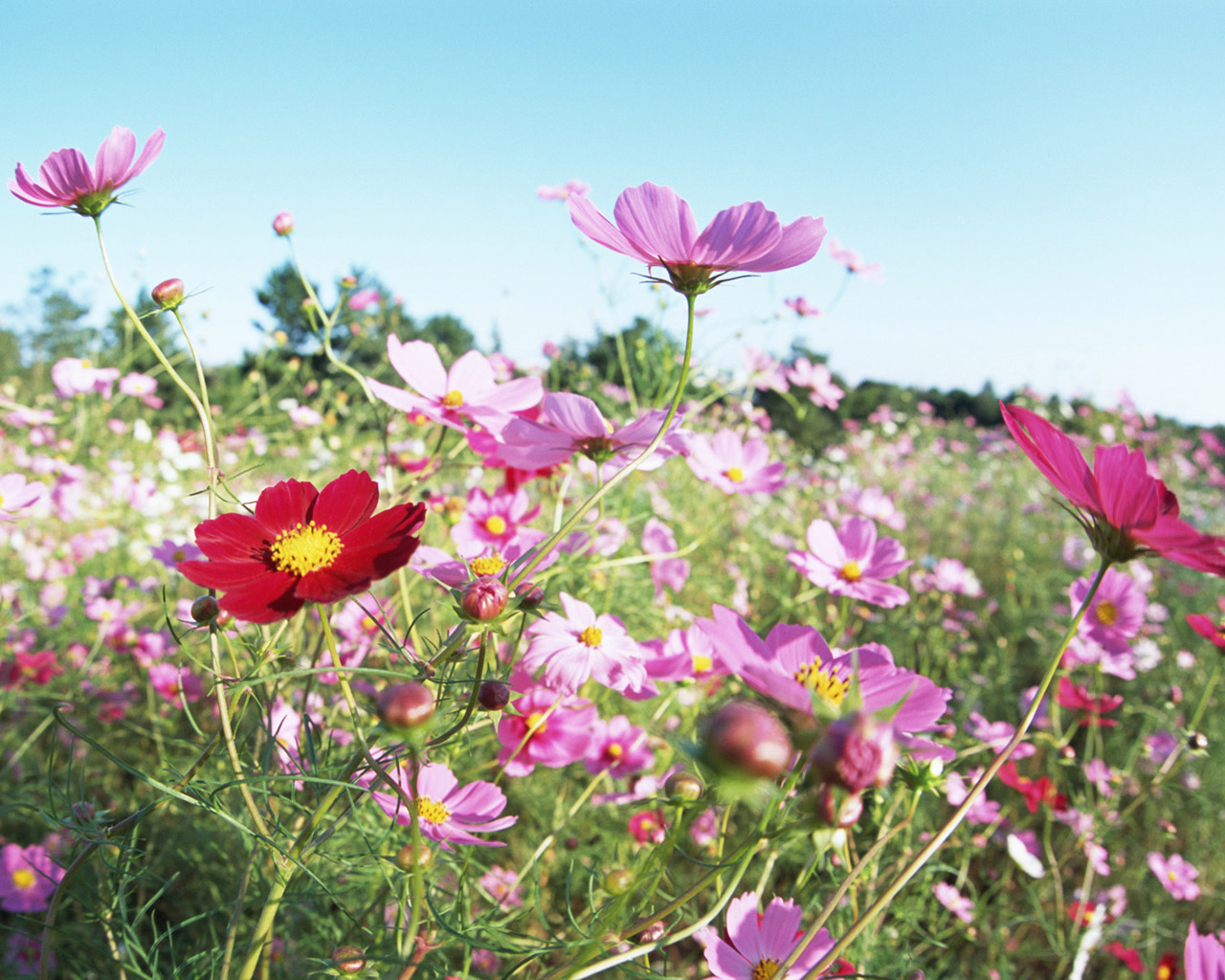 Flowers and Blue Sky : Colorful Flower Field (Vol.01) : Beautiful Wildflower