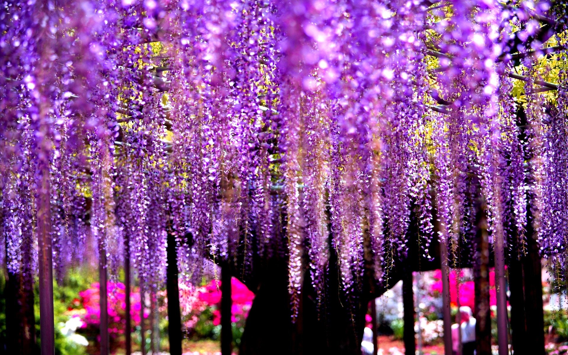 Wisteria Pictures 24451