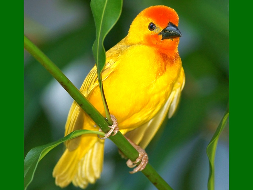 beautiful yellow bird wallpaper | 1024x768 | #11650
