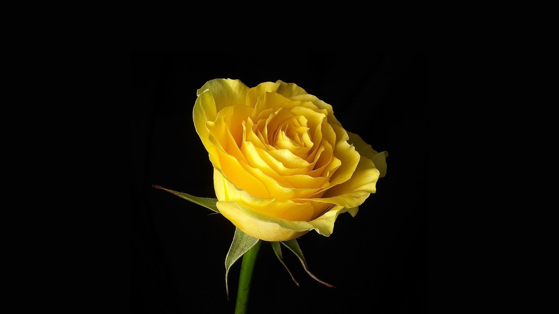 Backgrounds for Gt Beautiful Yellow Rose Wallpaper 1920x1080px