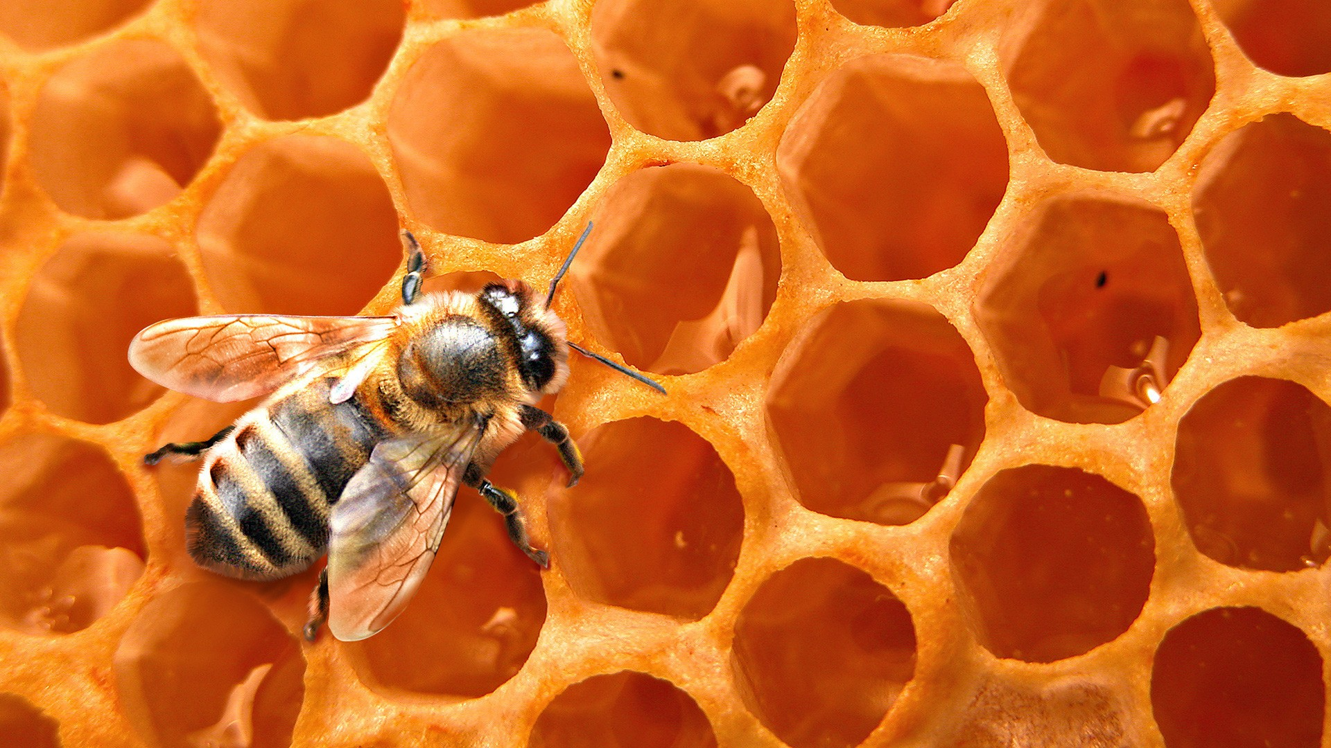 Dr Huber: Glyphosate Could Cause Bee Colony Collapse Disorder (CCD)